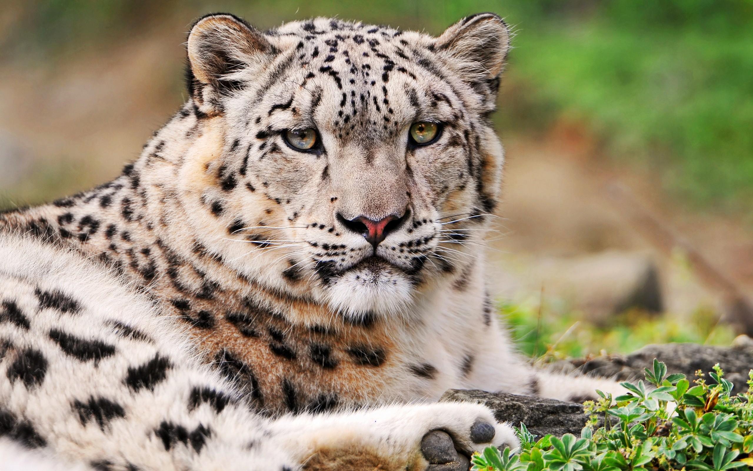 фото белого леопарда центральной