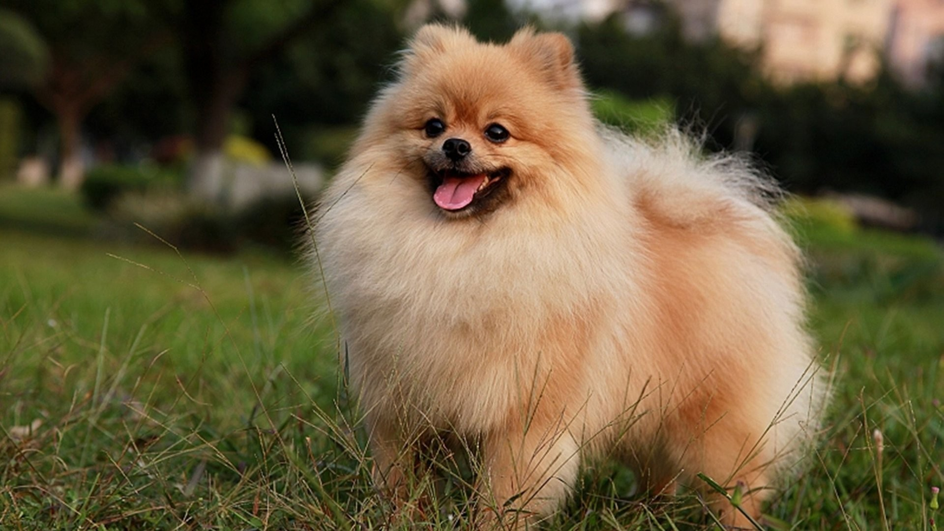 pomeranian dog breed information and pictures - HD1600×900