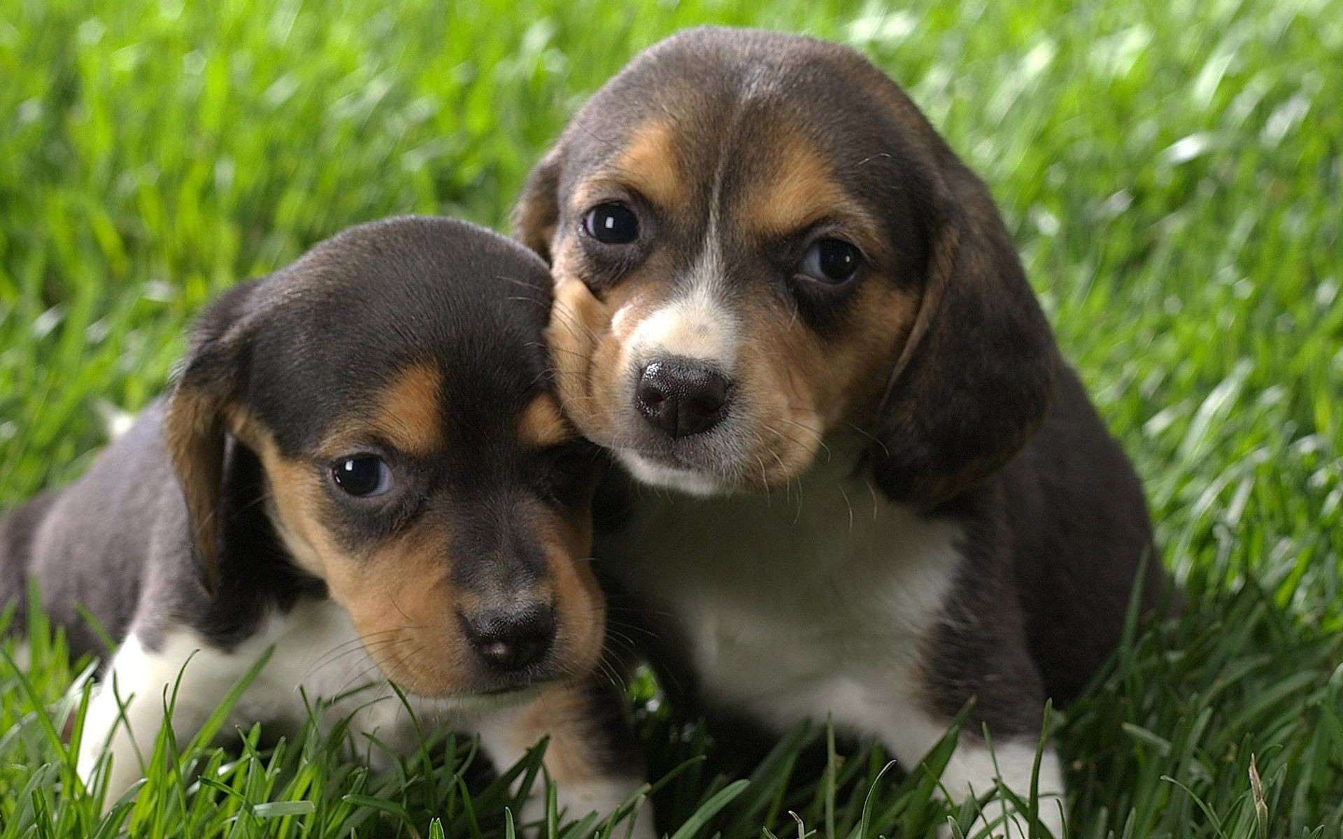Beagle Puppy For Sale In Czechia