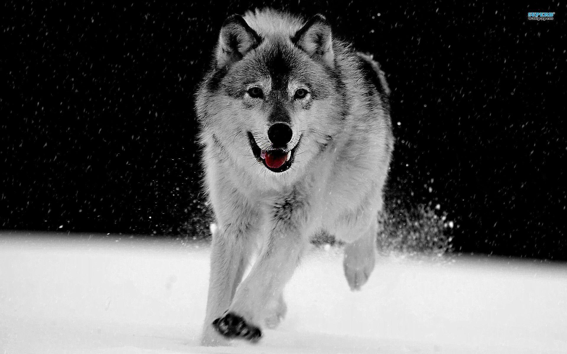 Beautiful Gray Wolf Wallpaper Amazing - 938088-gray-wolf-wallpaper-1920x1200-windows-xp  Best Photo Reference_668062.jpg