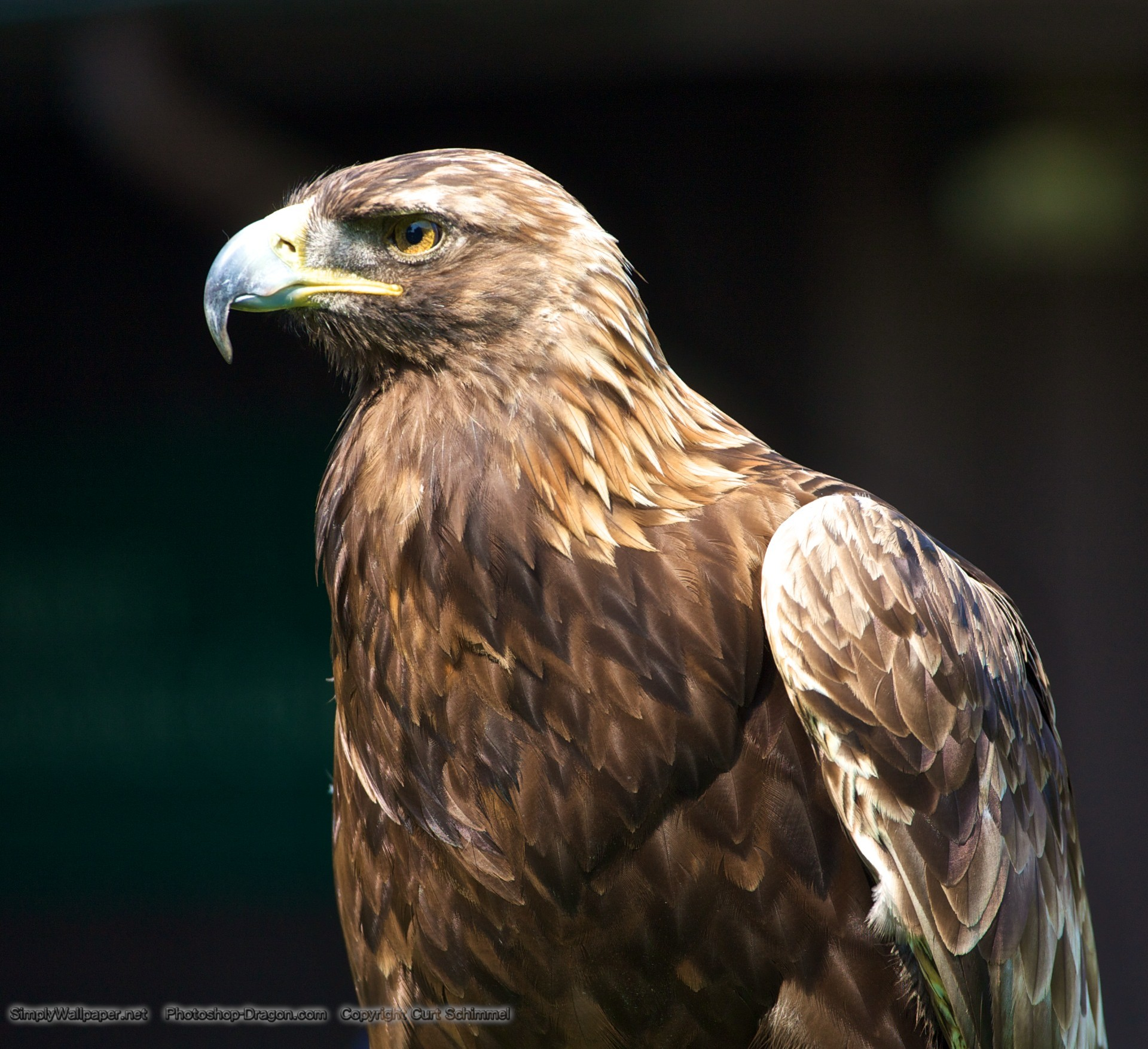 golden eagle The golden eagle is evaluated as least concern this bird is native to much of the world and has a range that of 1 million square kilometers the population of the golden eagle is believed to a quarter of a million individual birds.