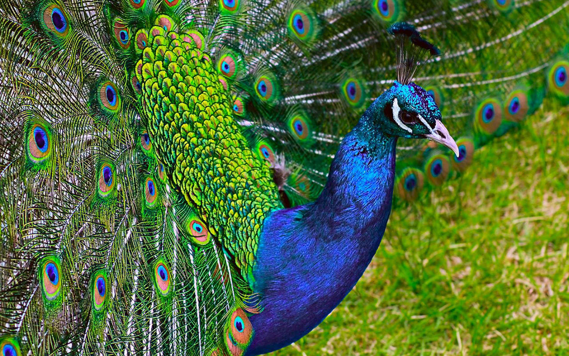 Wallpapers of Peacock Feathers HD 2018 ·①  Wallpapers of P...