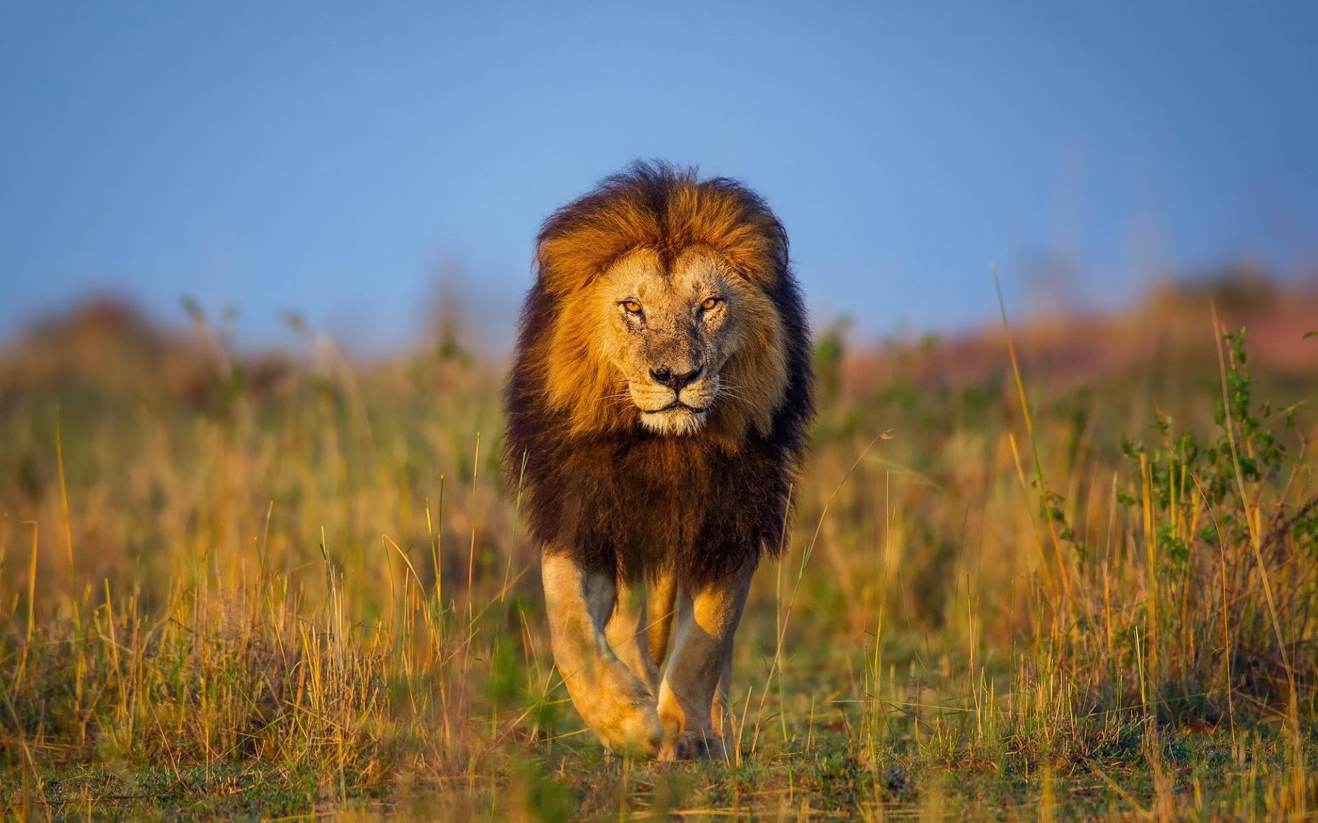 8k Animal Wallpaper Download: Male Lion Faces Wallpaper ·① WallpaperTag