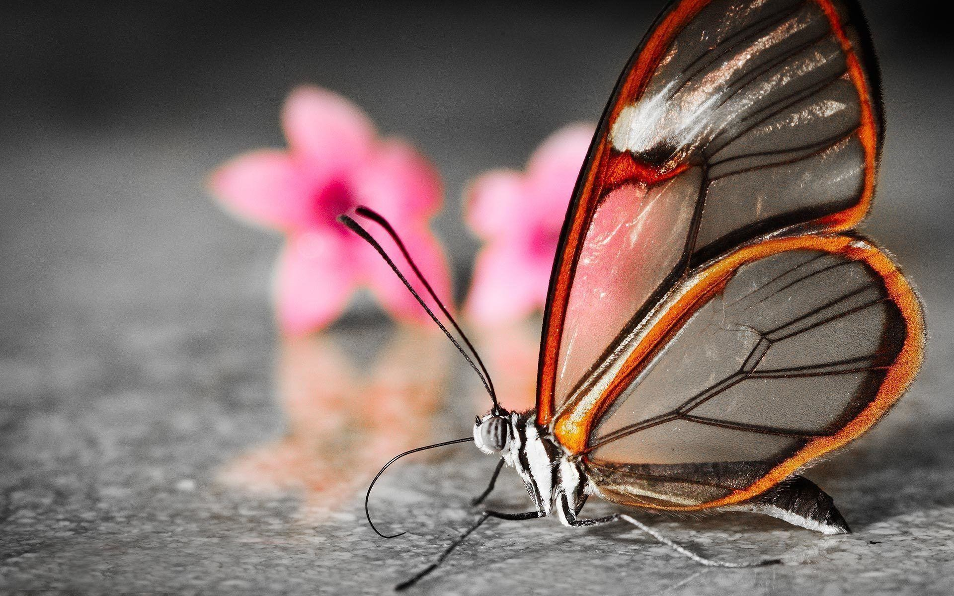 Butterflies Wallpapers Hd Download: Butterfly Wallpaper Desktop ·① WallpaperTag