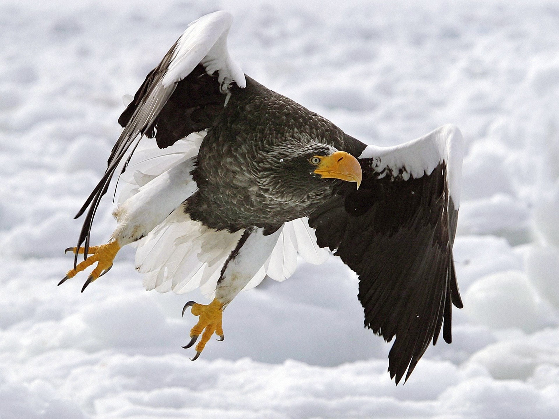 Golden Eagles Flying Wallpaper Flying Eagle Wallpaper...
