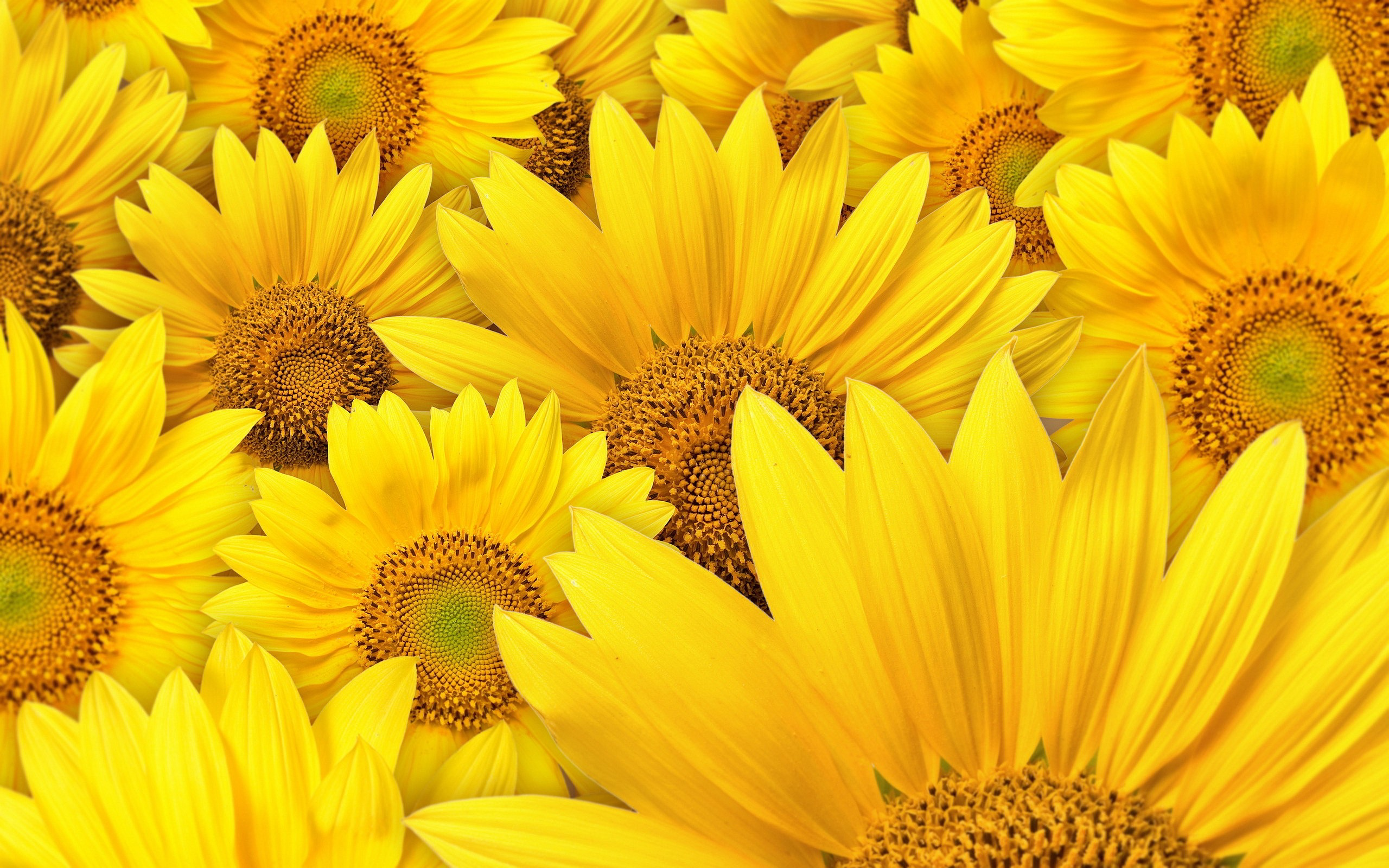 Amazing Wallpaper Macbook Sunflower - 354030-full-size-sunflower-background-2560x1600-for-full-hd  Perfect Image Reference_41774.jpg