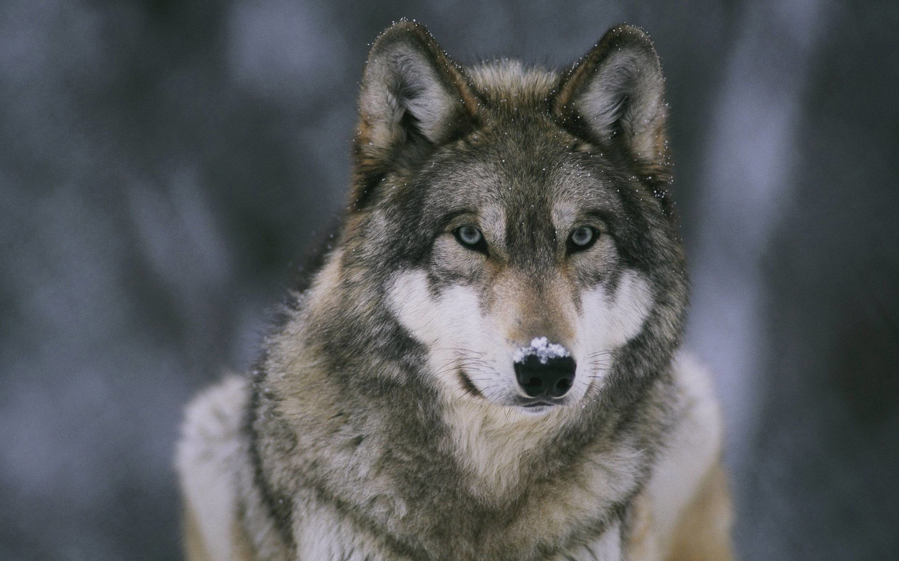 Good Wallpaper Angry Gray Wolf - 938122-most-popular-gray-wolf-wallpaper-2880x1800-for-pc  Pic_283833      .jpg