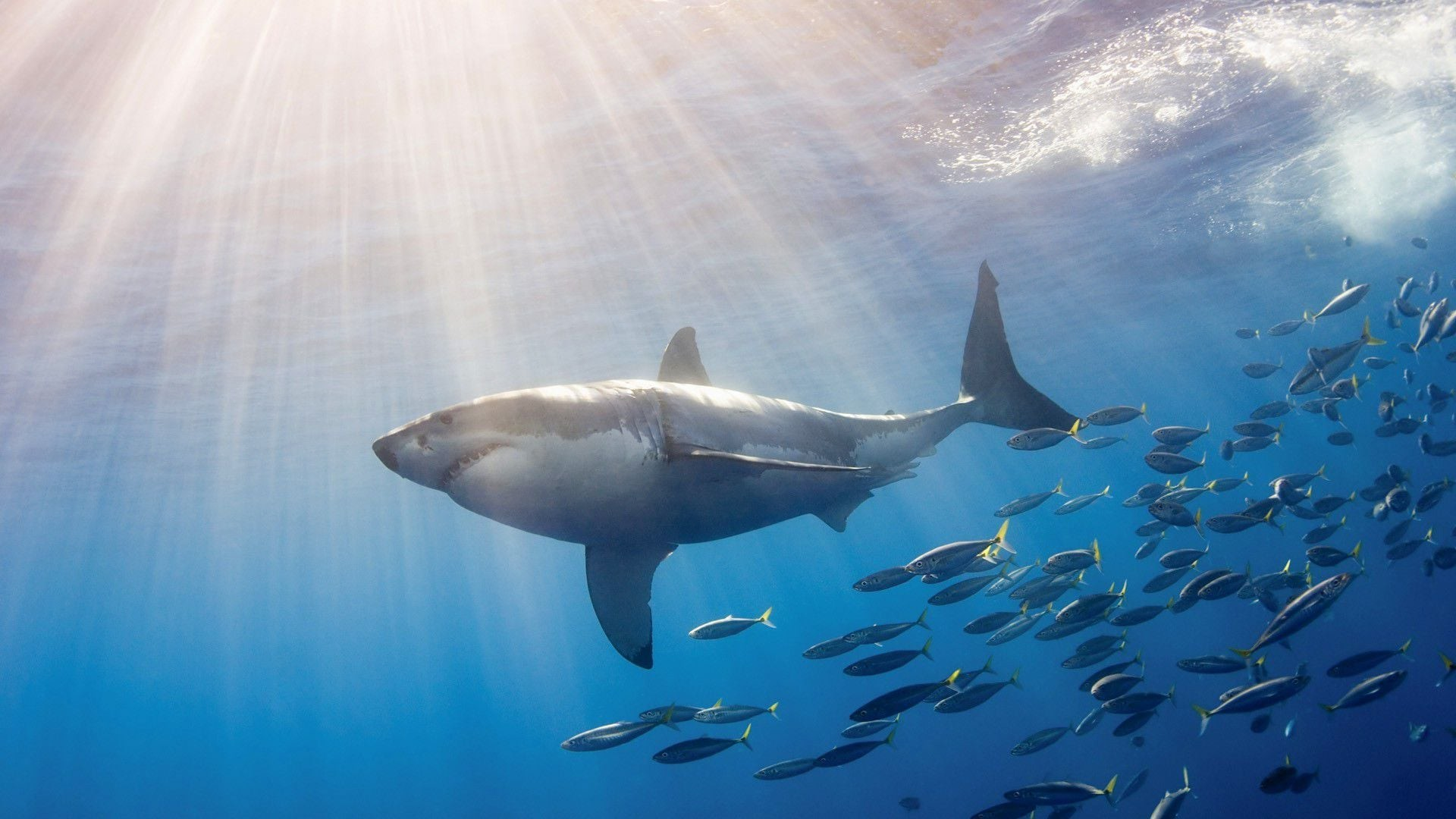 Great White Shark Wallpaper HD ·① WallpaperTag