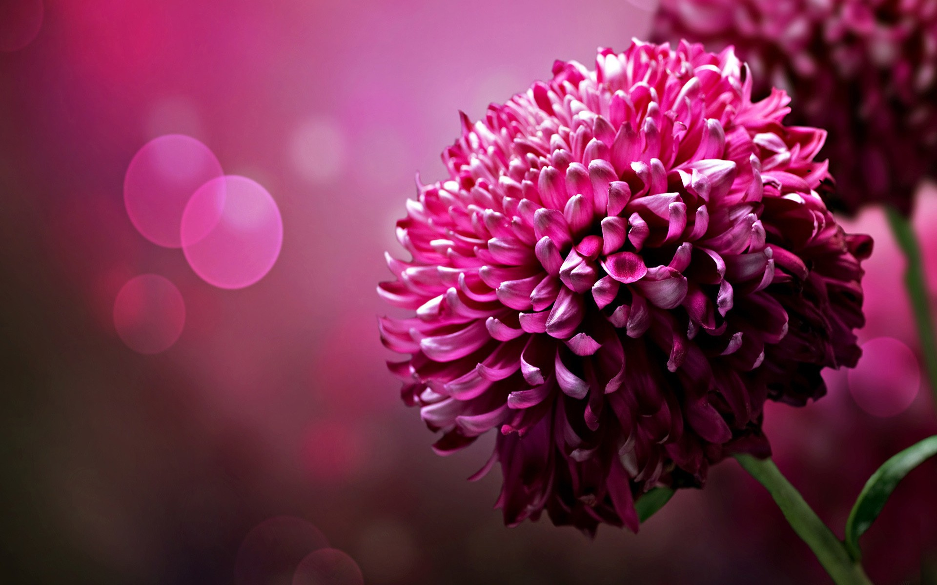 Pink Flower Background Download Free Beautiful Wallpapers For