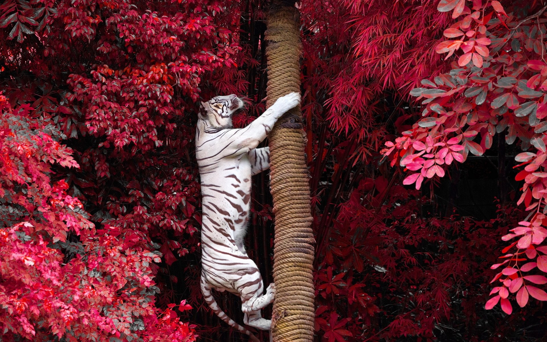 White Tiger wallpaper ·① Download free cool High Resolution backgrounds for desktop computers ...