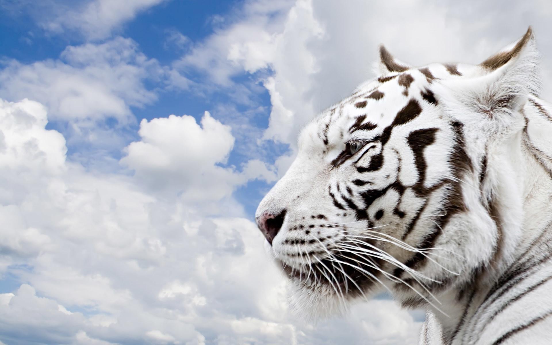 white tiger wallpaper hd ·①