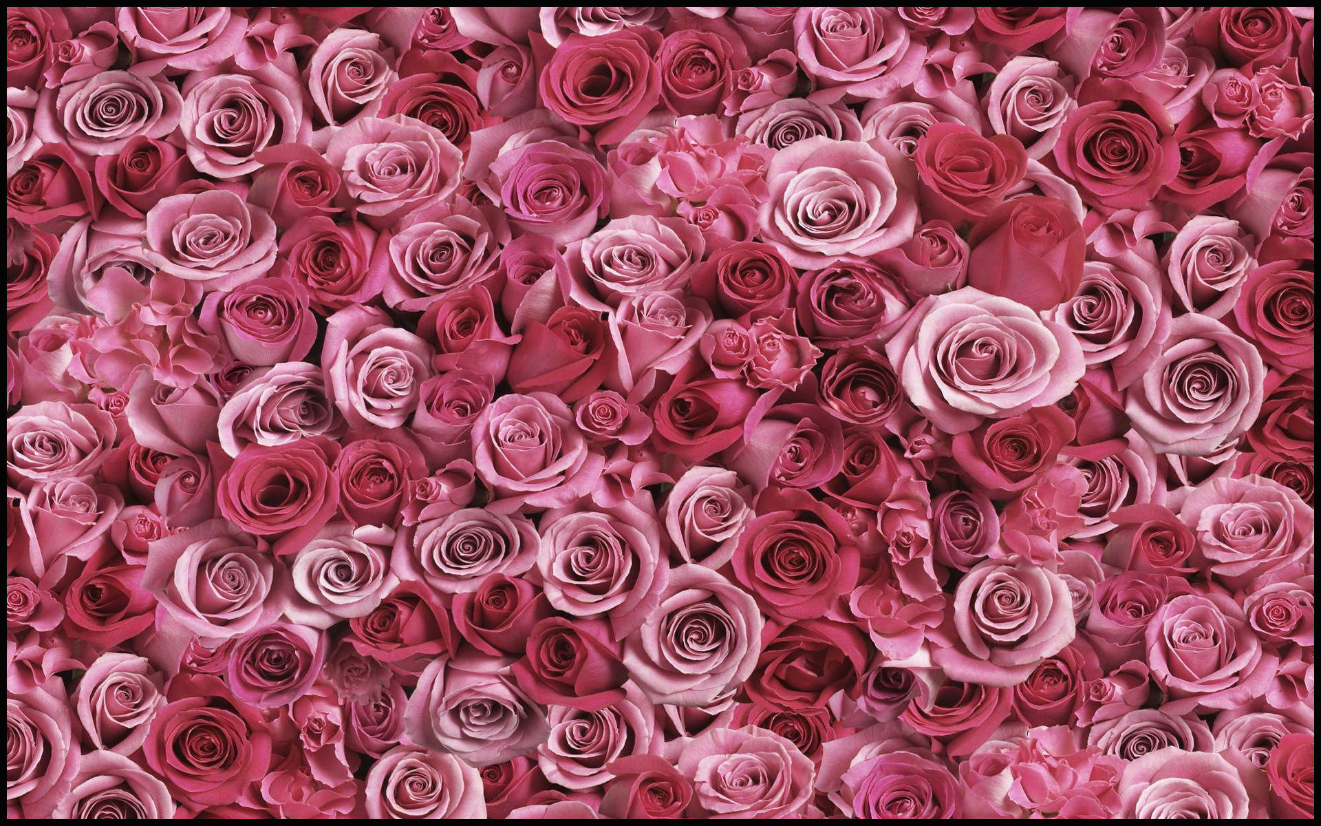 Roses Background Images HD Wallpapers Download Free Images Wallpaper [1000image.com]