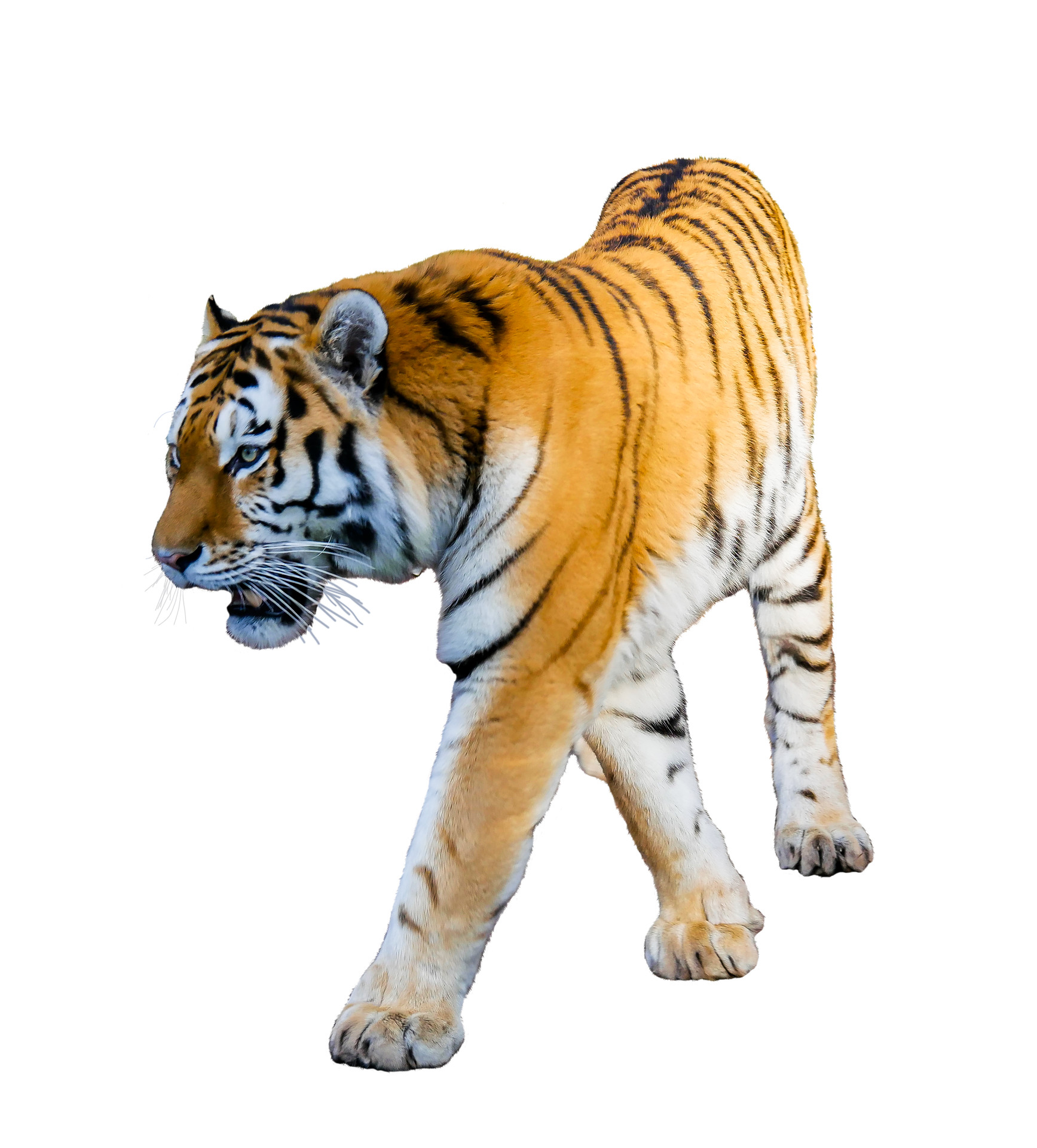 tiger white background ·①
