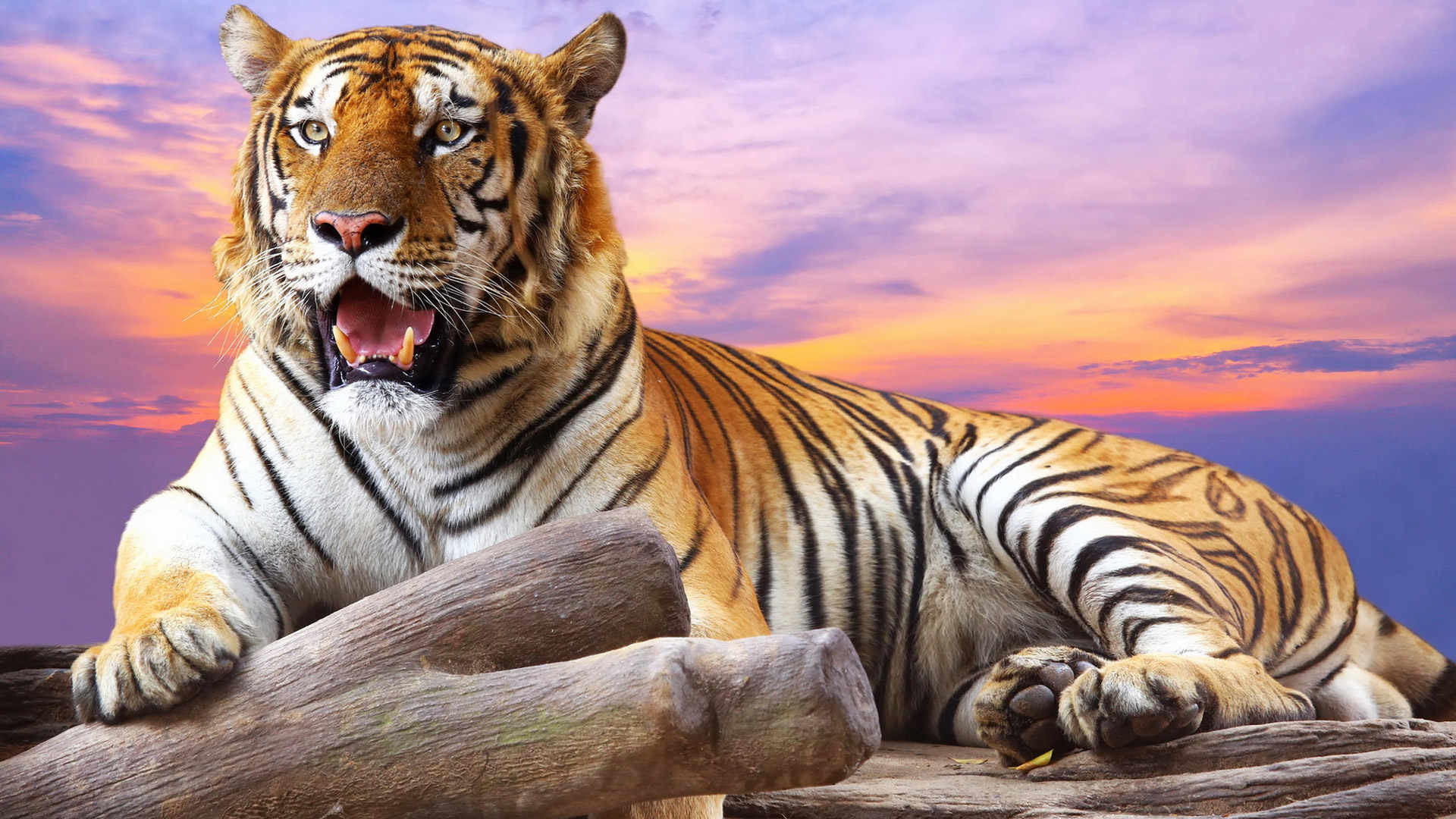 Tiger hd wallpaper wallpapertag - Animal 1920x1080 ...