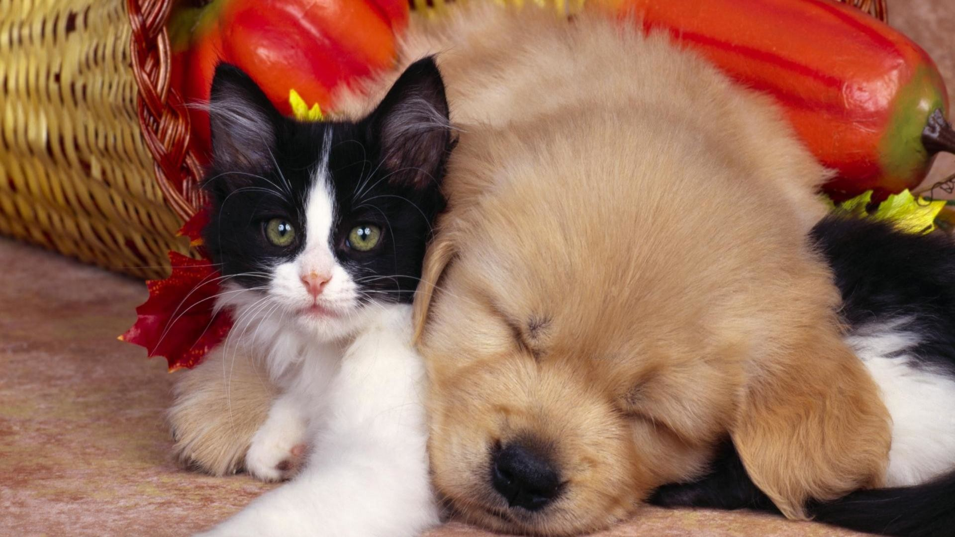 Puppies and kittens wallpaper wallpapertag - Kitten backgrounds ...