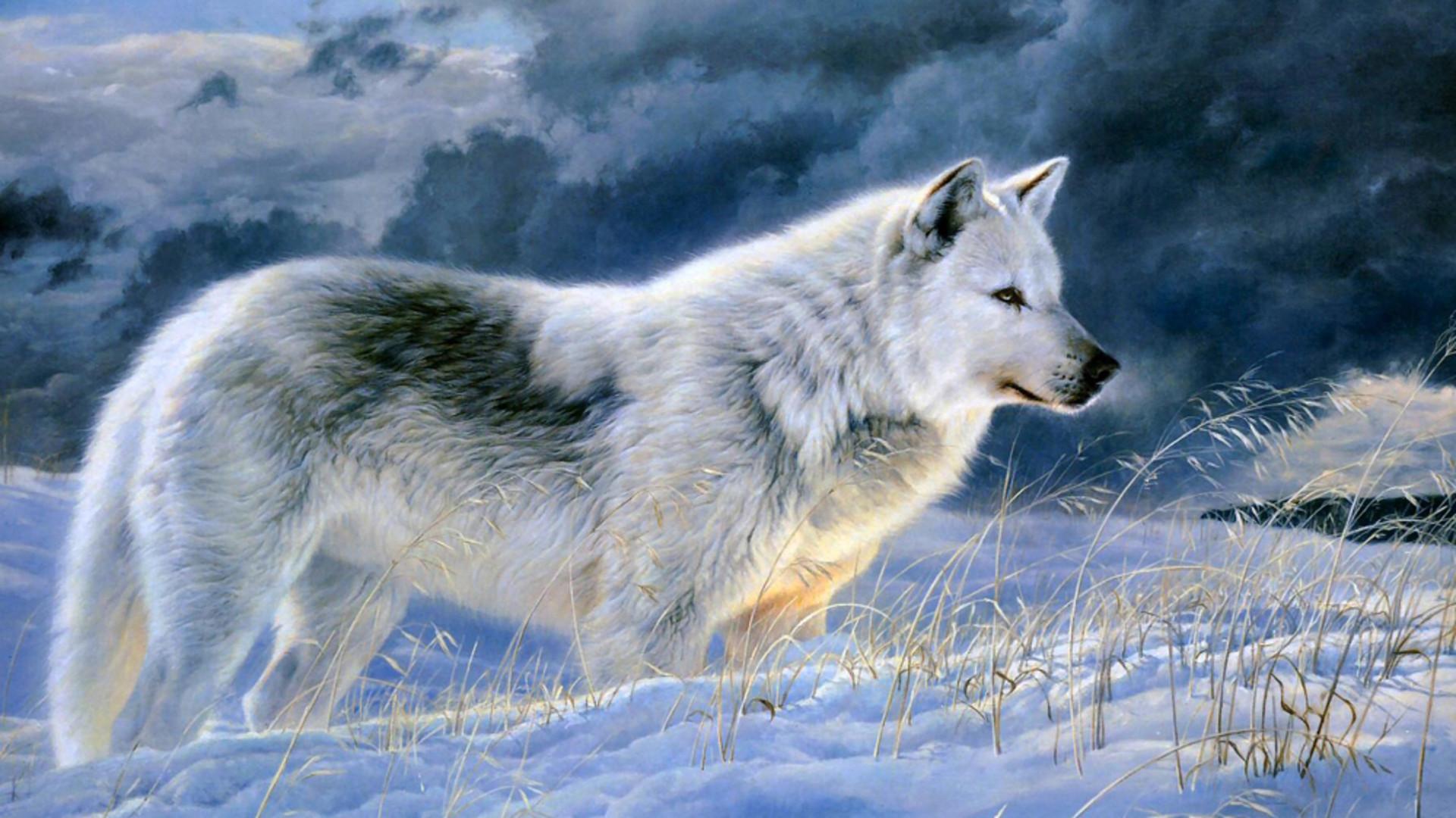 Wonderful Gray Wolf Wallpaper 1080p - 938092-cool-gray-wolf-wallpaper-1920x1080-samsung-galaxy  Graphic_707155.jpg