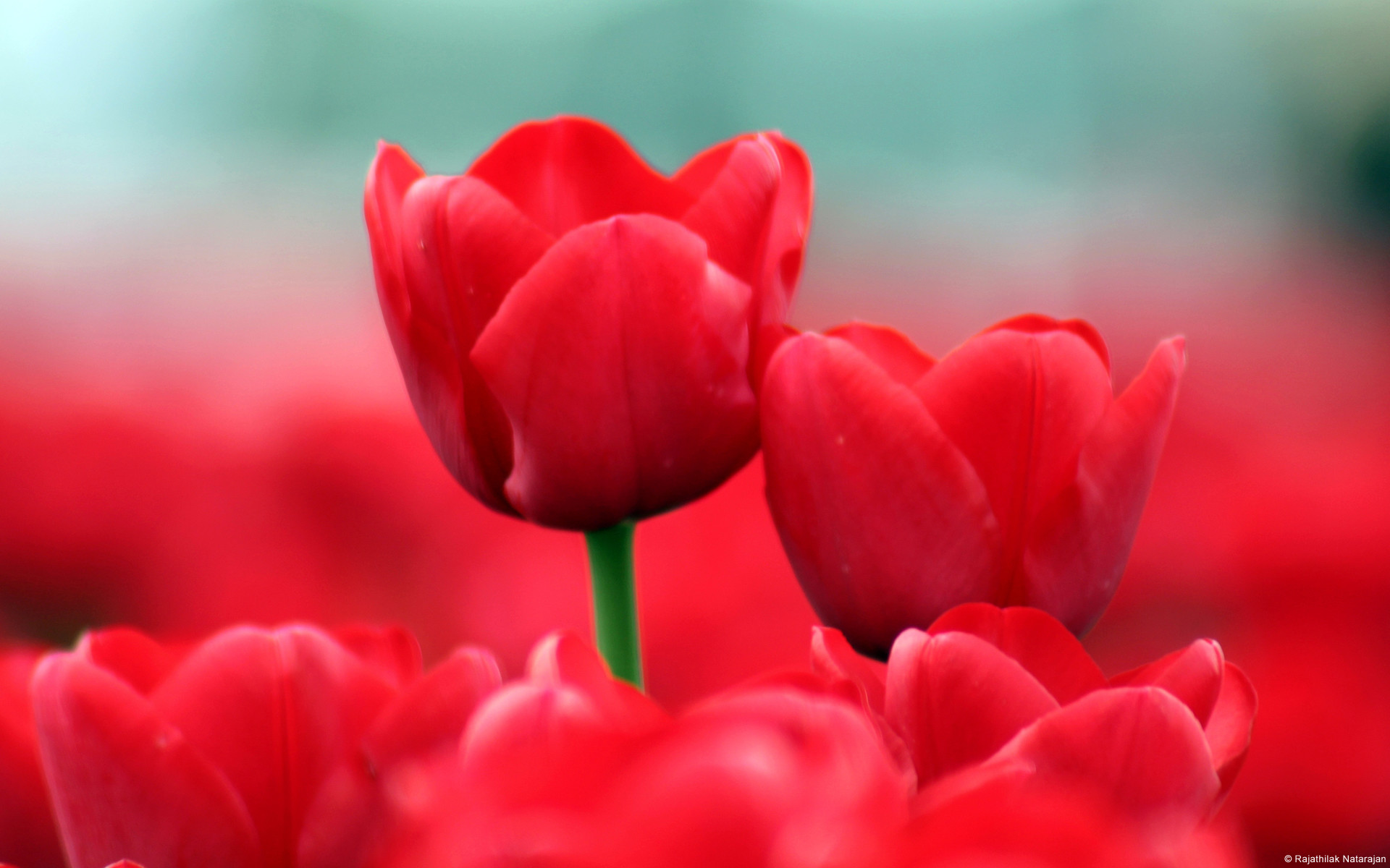 Red Tulips Wallpaper 1