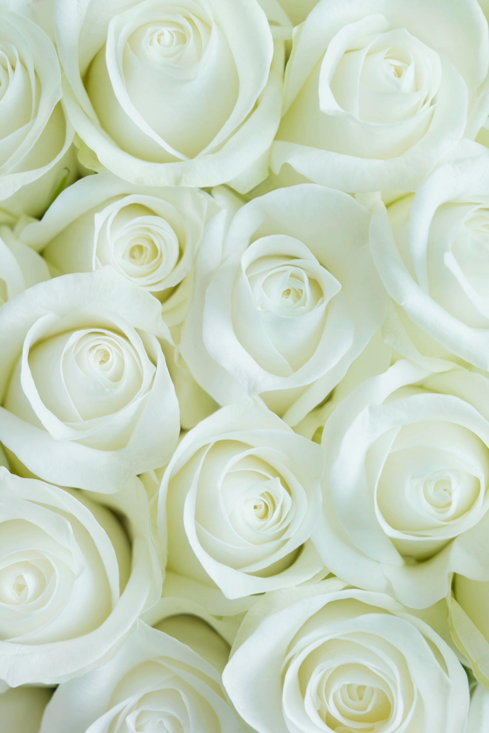 White Roses Wallpaper 1