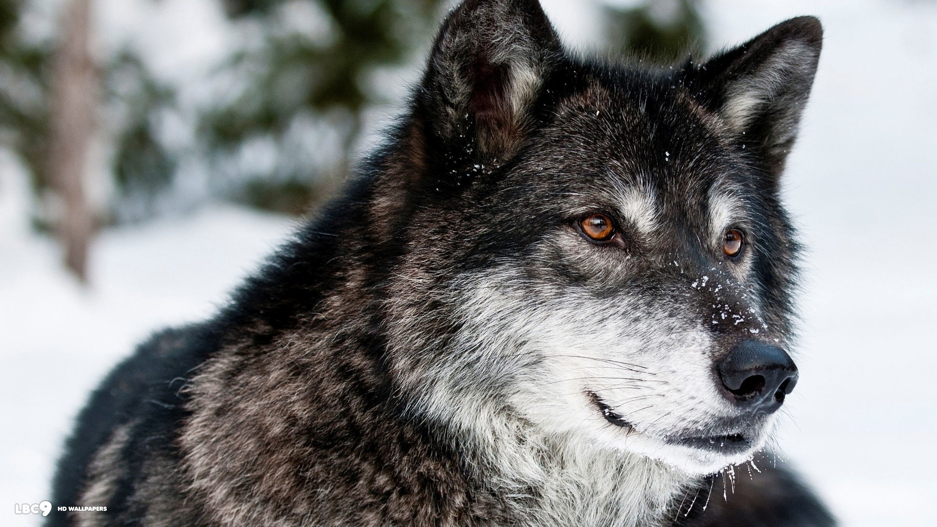 Must see Gray Wolf Wallpaper Majestic - 689619-majestic-wolf-wallpaper-1920x1080-for-samsung-galaxy  You Should Have_20169.jpg