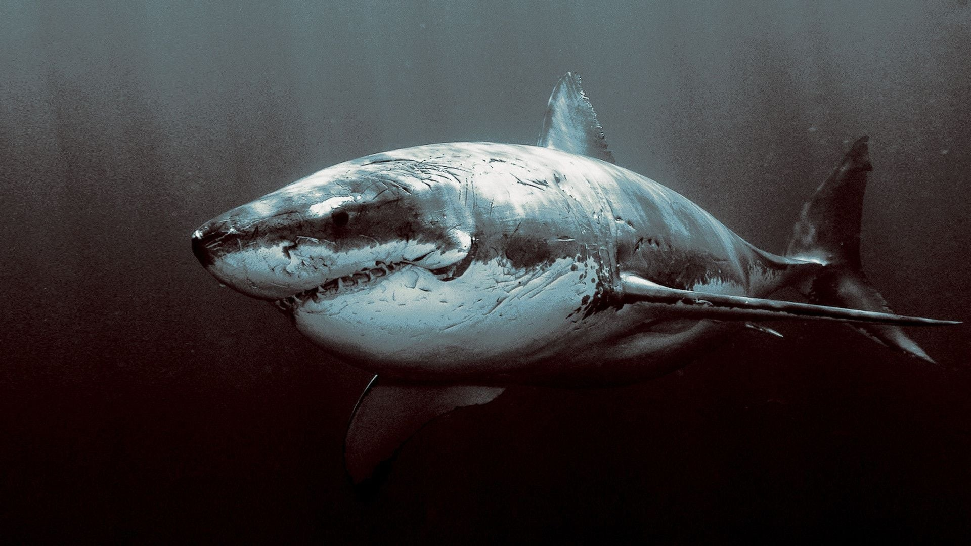 megalodon wallpapers 183��
