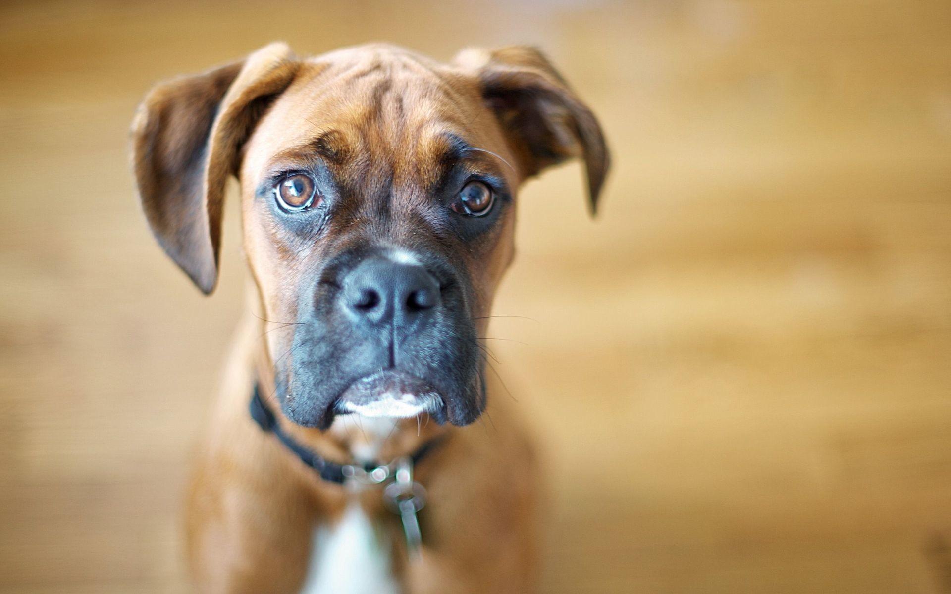 boxer dog wallpaper