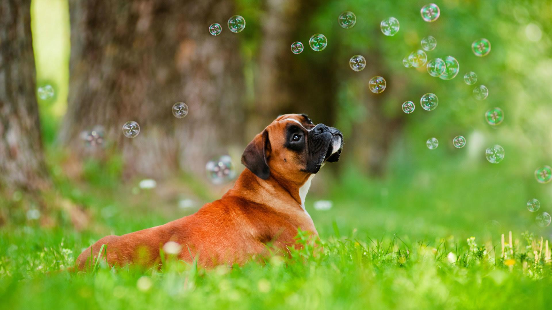 Cute Boxer Puppies Wallpaper Boxer Dog Wallpaper &#...