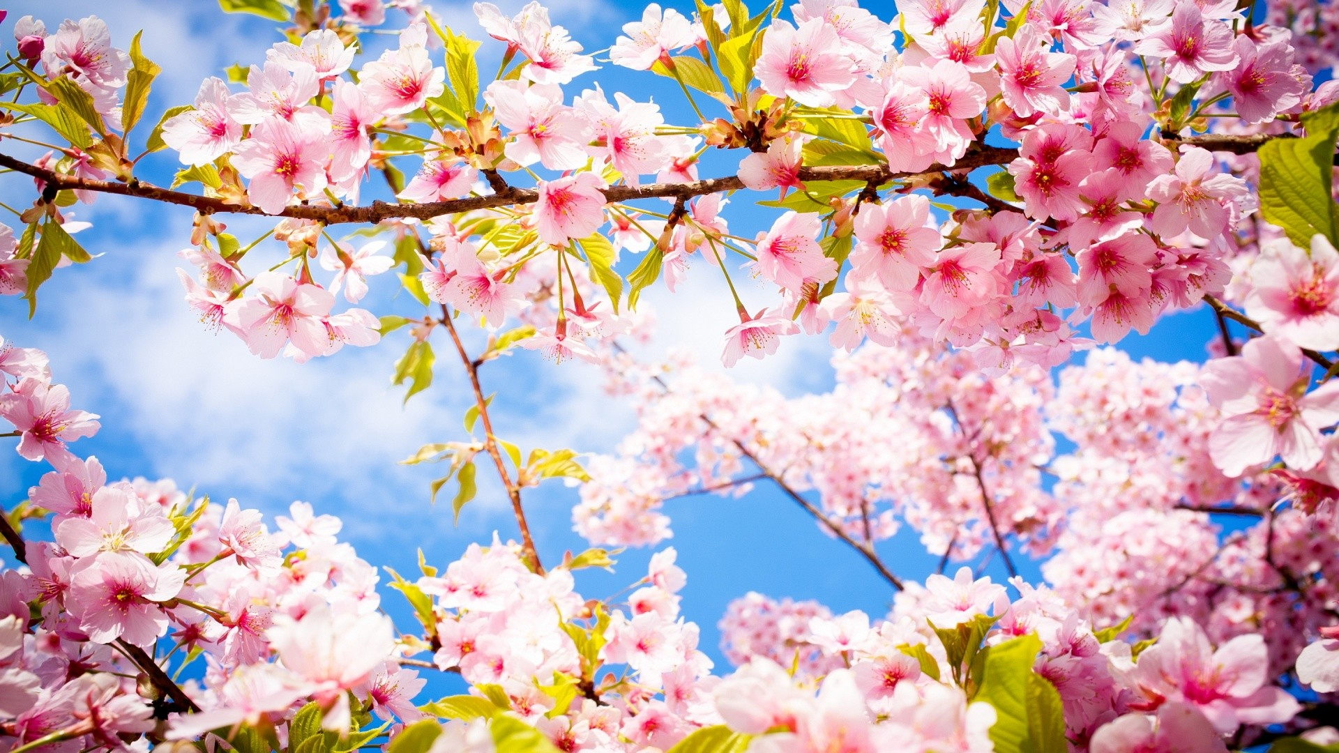 1920x1080 Lovely Cherry Blossom Wallpapers To Brighten Your Desktop