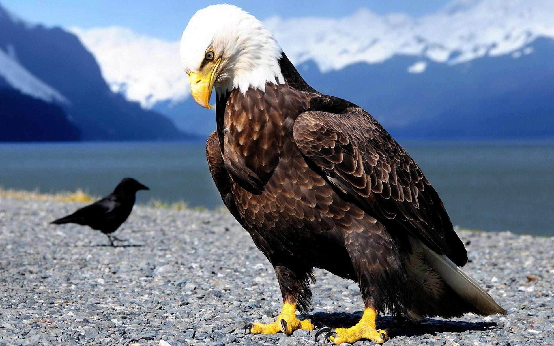 American Bald Eagle Wallpaper ·① WallpaperTag