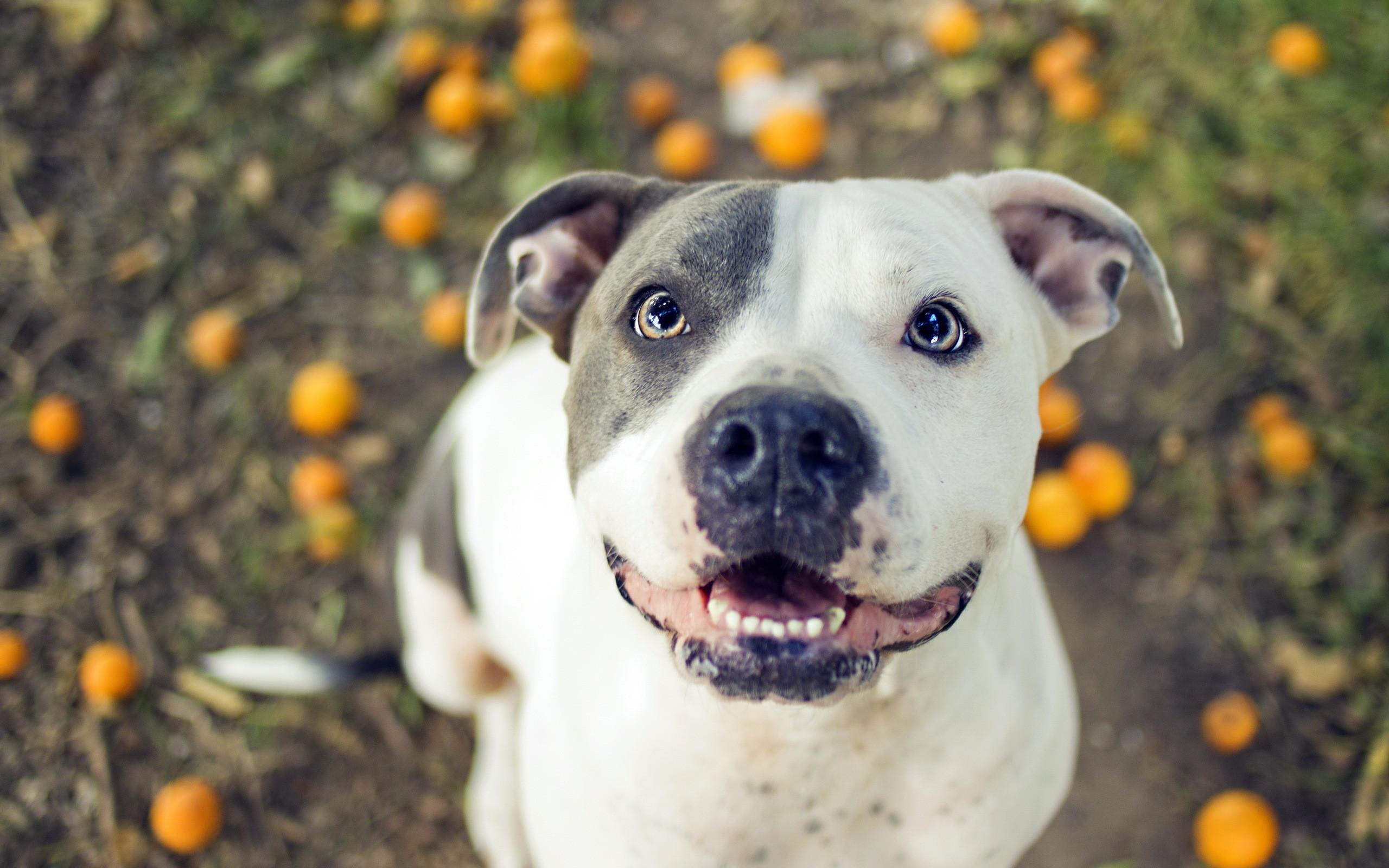 Pitbull Dog Wallpaper 1