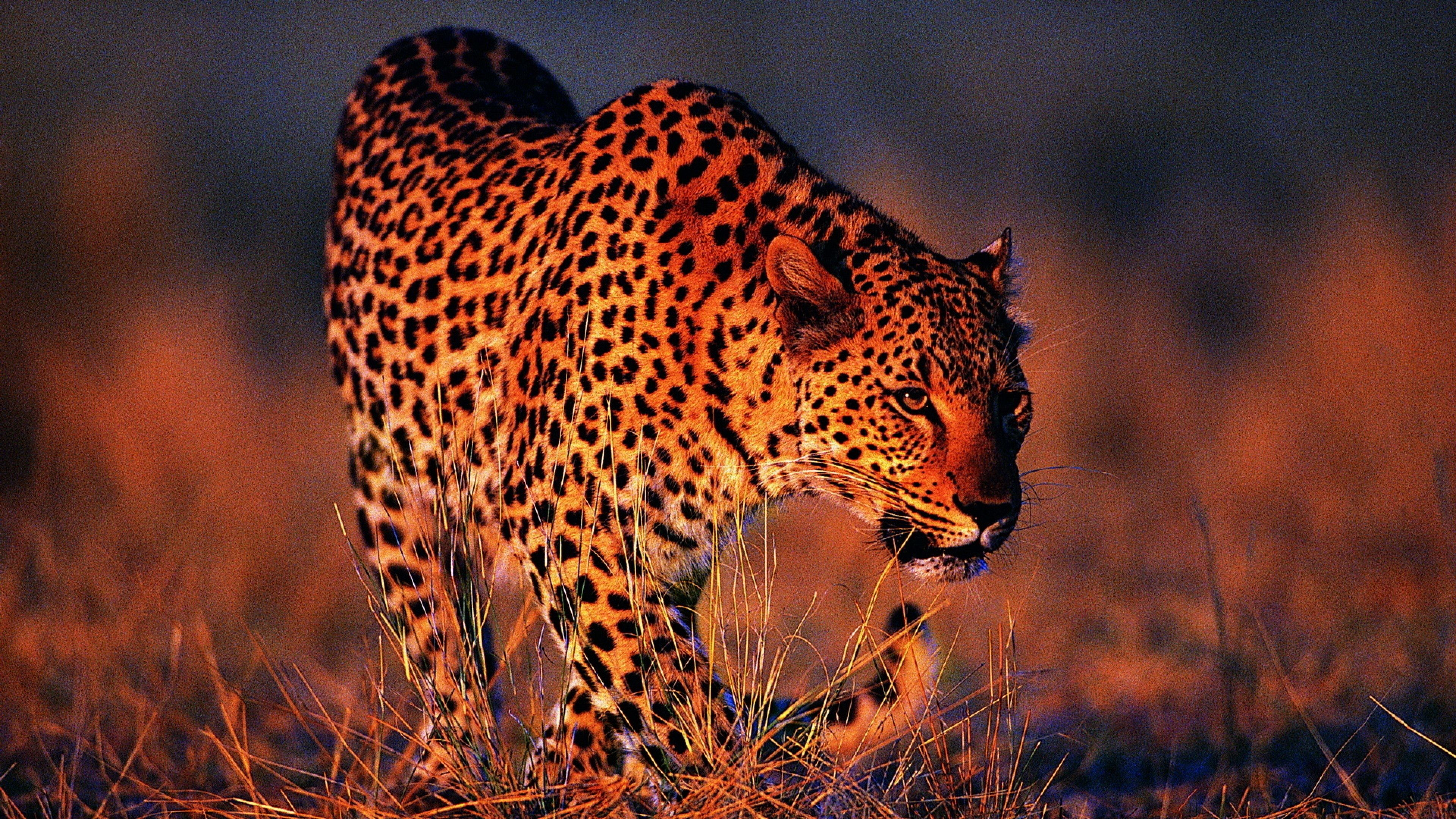 leopard wallpapers 183��