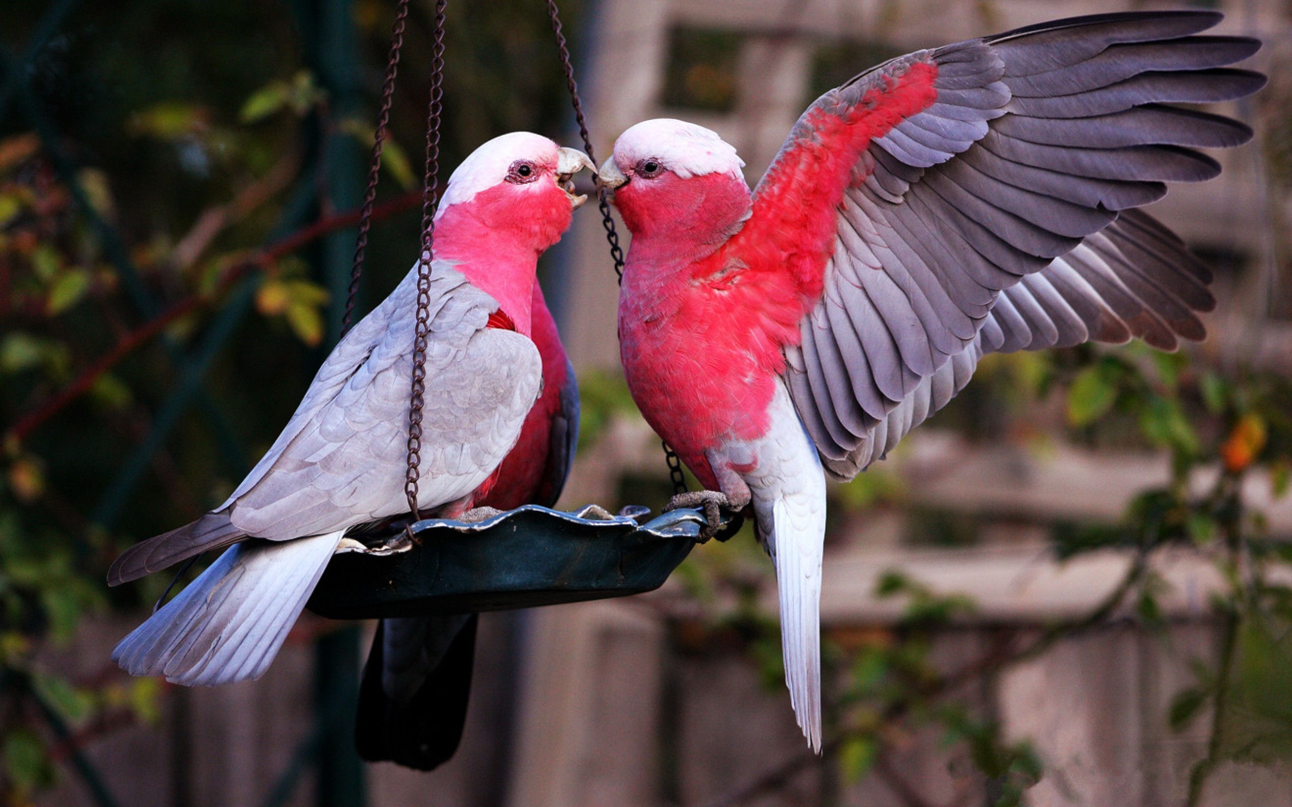 Love Birds couple Wallpaper : Lovebirds Wallpaper ??