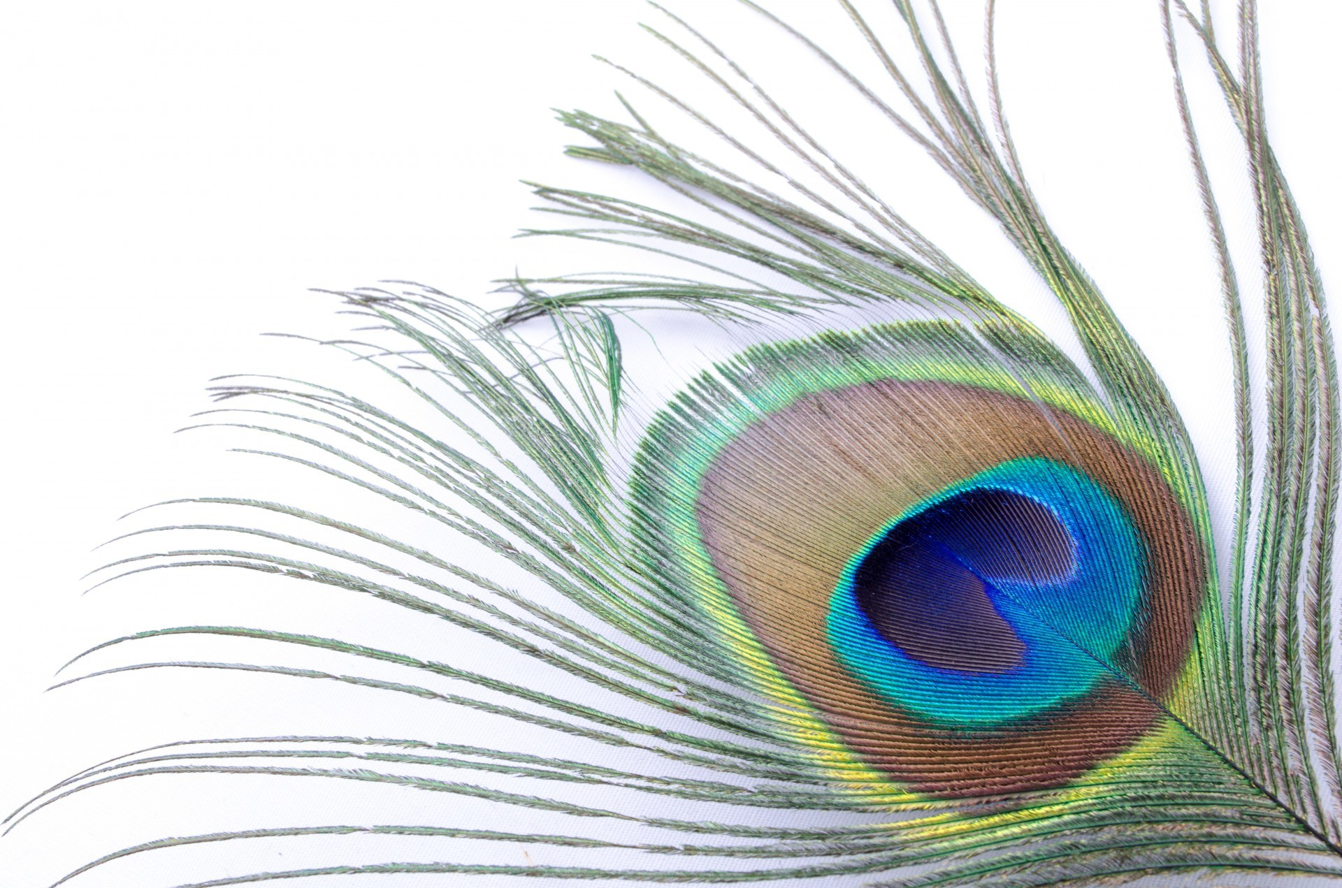 Peacock Feather Background ·①