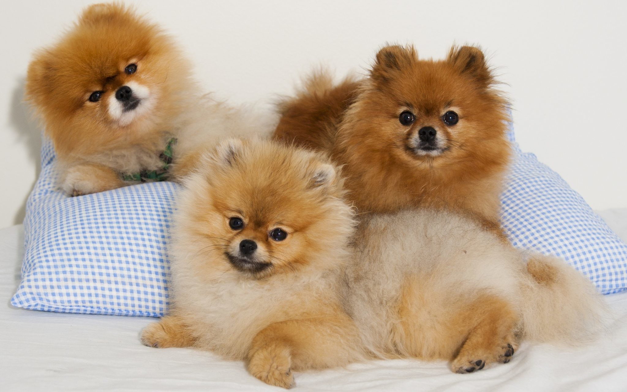 Pomeranian Wallpaper