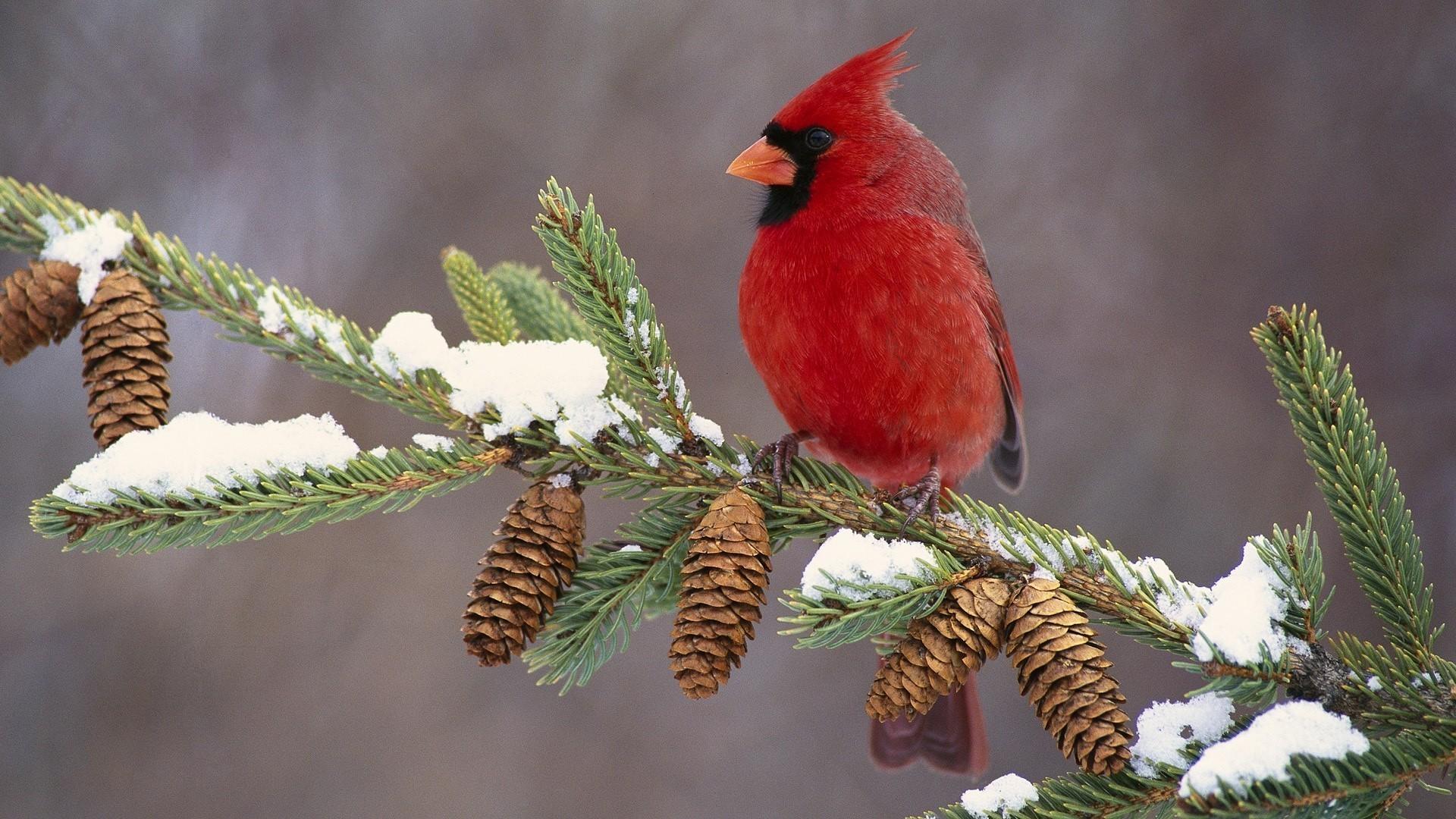 cardinal bird wallpaper 183�� wallpapertag