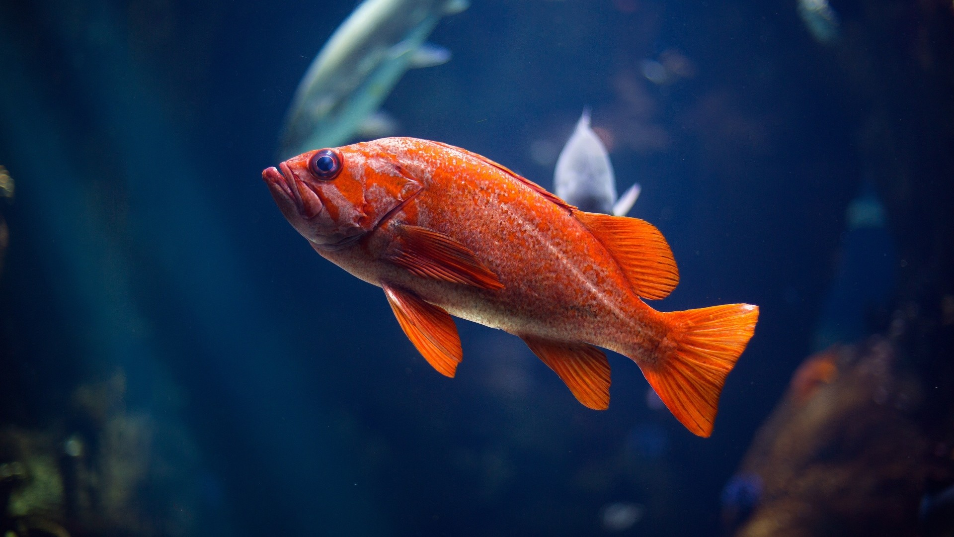 An82 Apple Ios9 Fish Live Background Dark Blue: Red Fish Wallpaper ·① WallpaperTag
