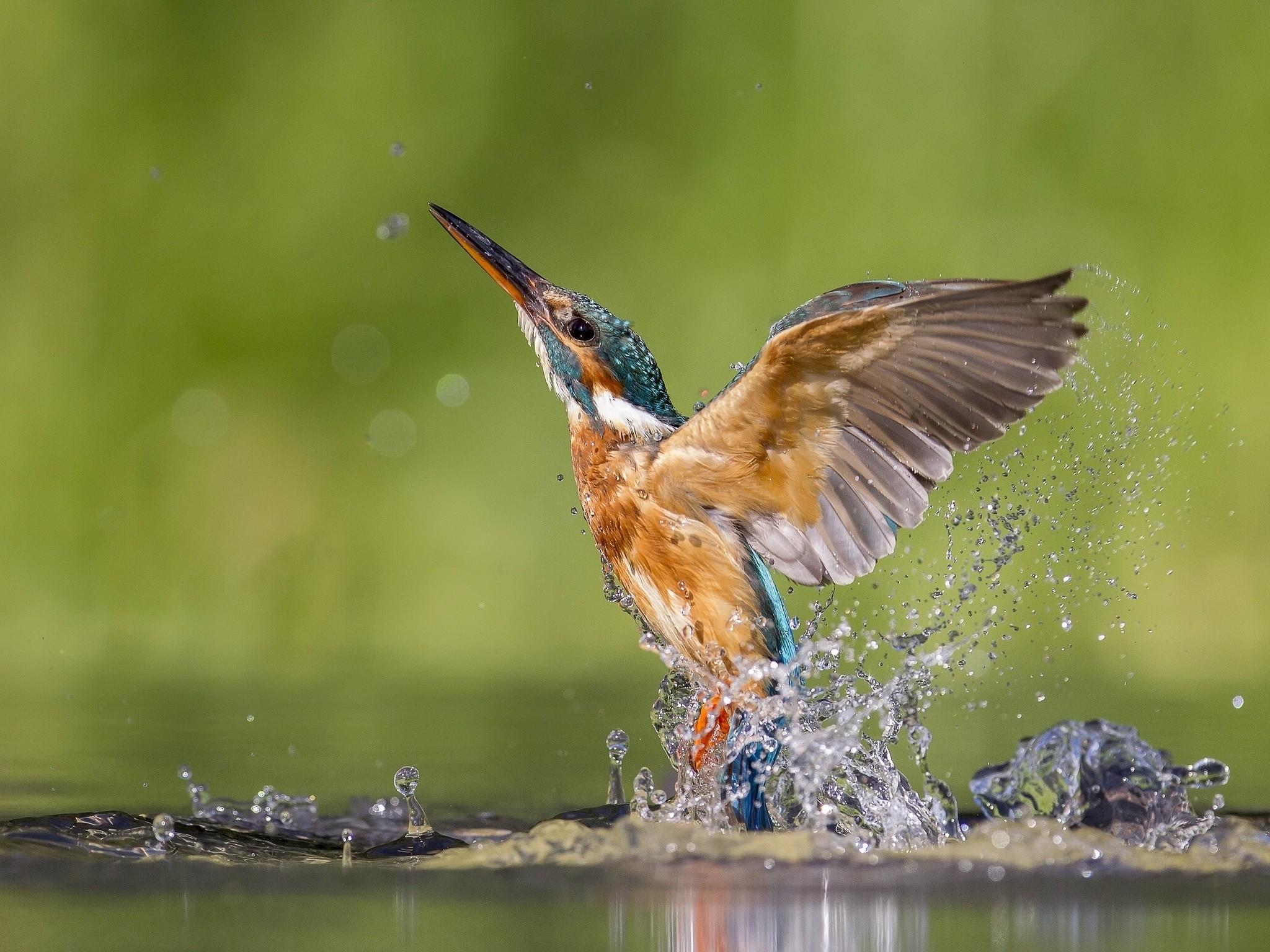 Орез взлетающий из воды  № 1187948  скачать