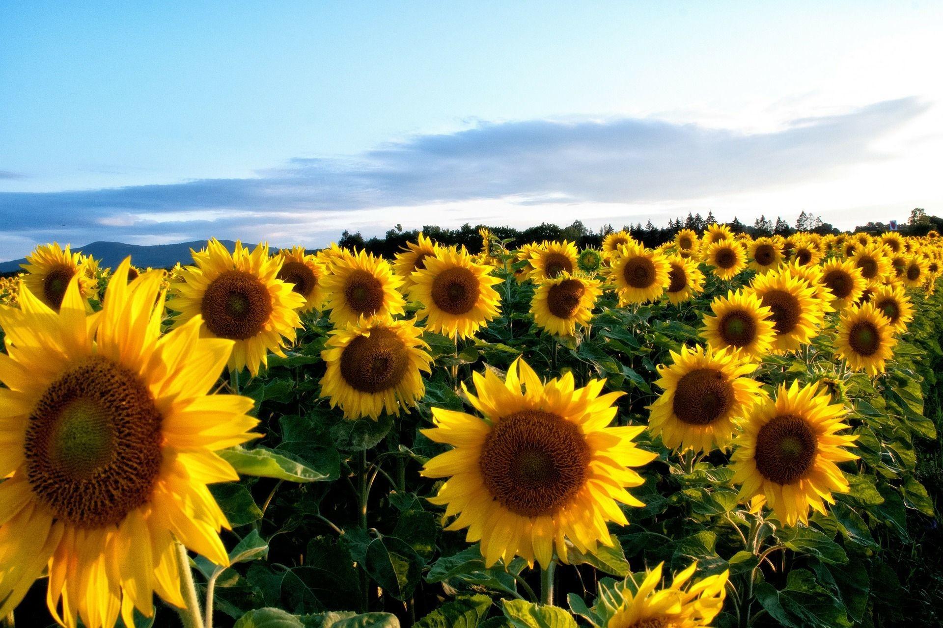 Sunflower Backgrounds ·① WallpaperTag
