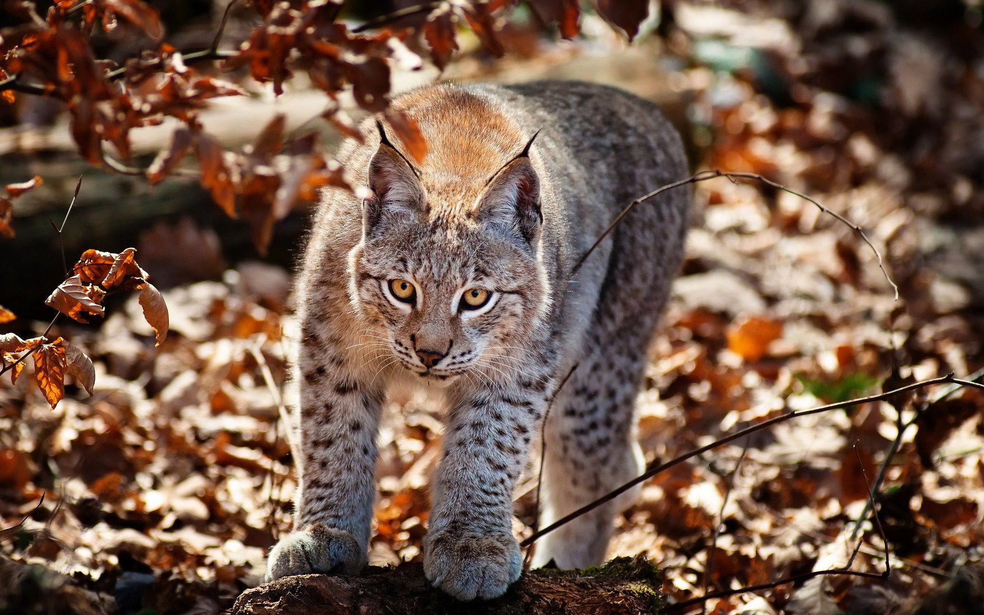 Wild Cat Wallpapers ·① WallpaperTag