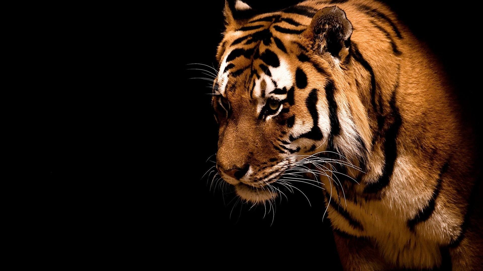 Tiger Hd Wallpaper Wallpapertag