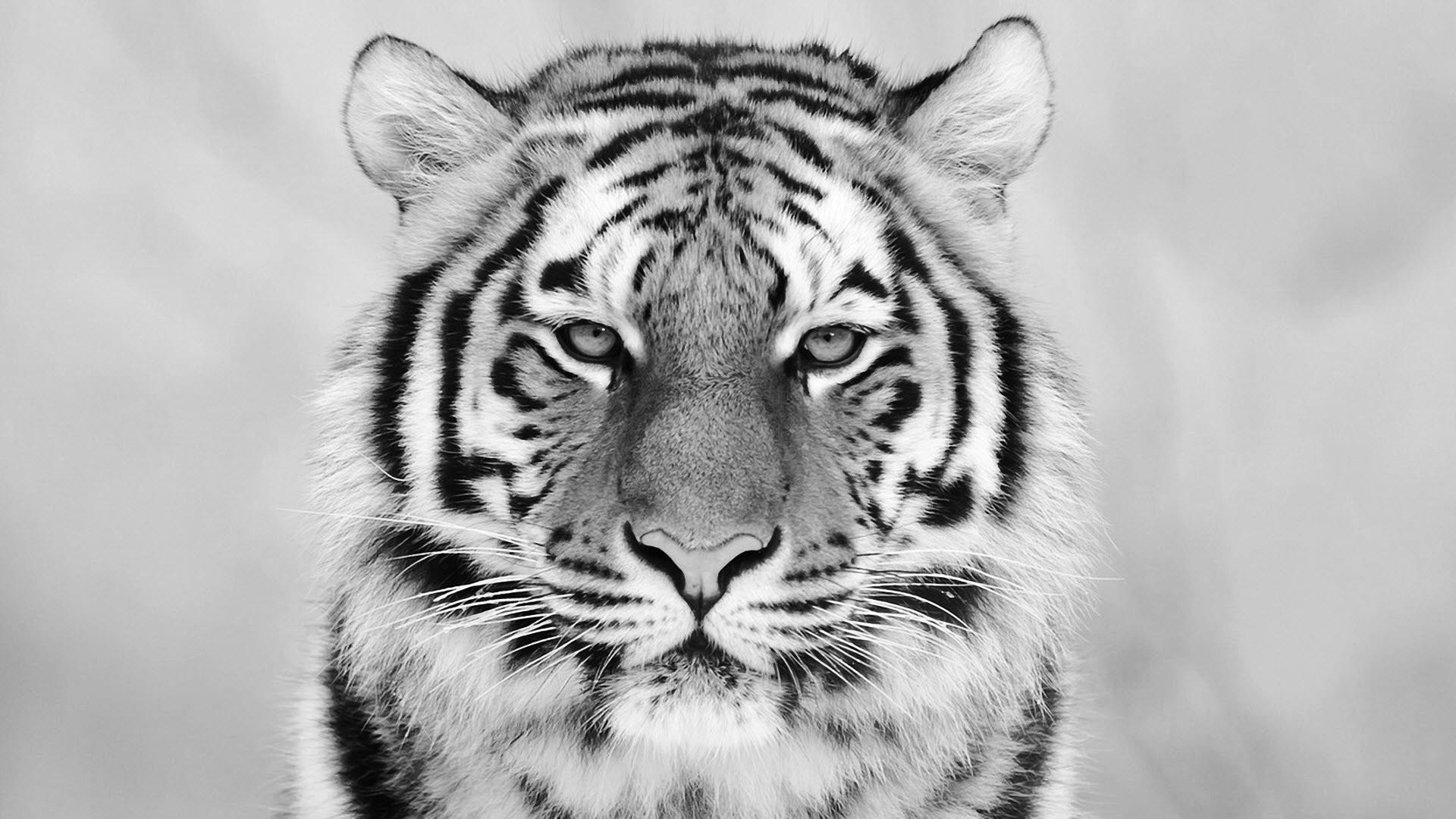 White Tiger Wallpaper HD 1