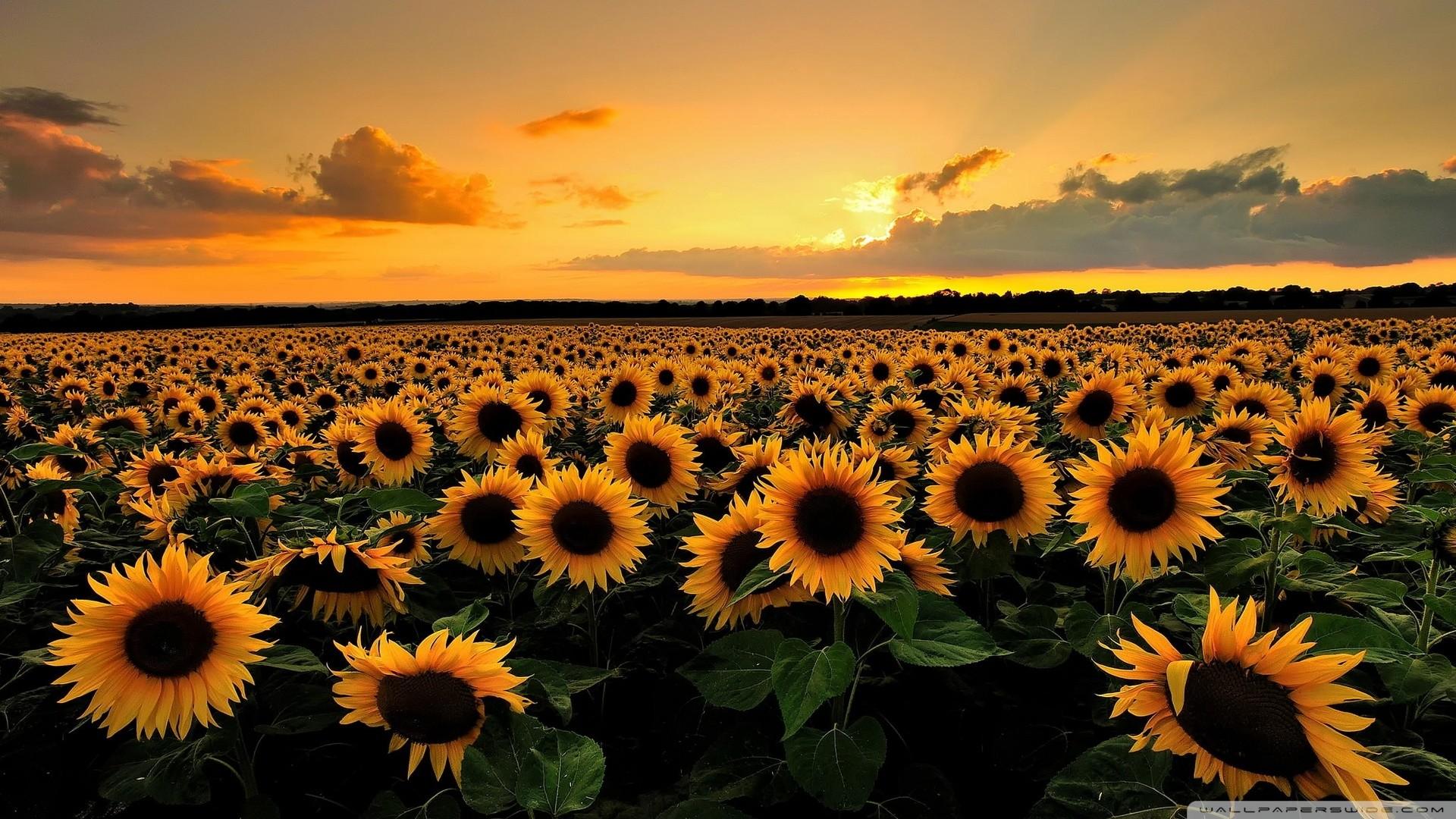 Sunflowers Wallpaper Wallpapertag