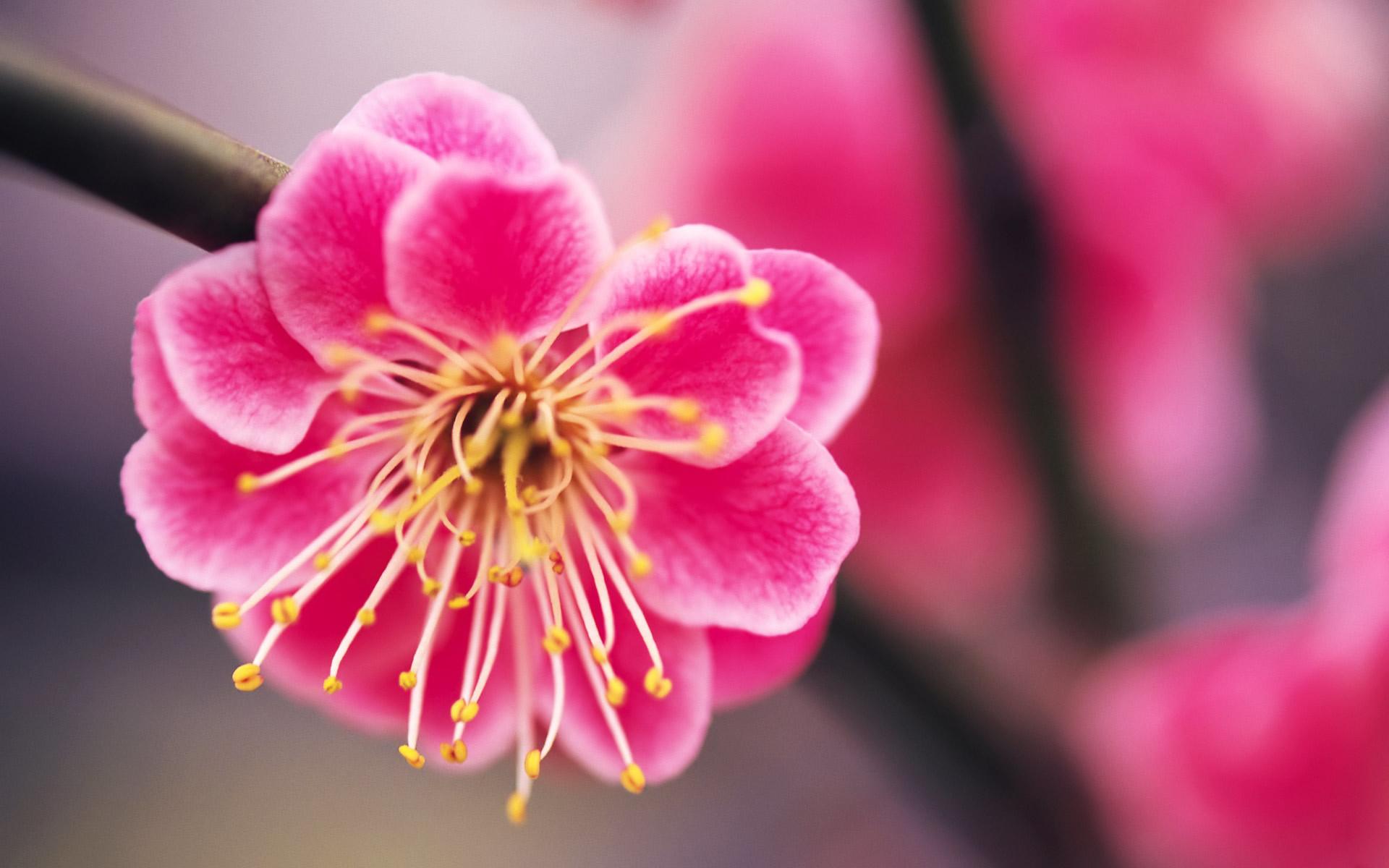 Pink Flower Desktop Wallpaper ·① WallpaperTag