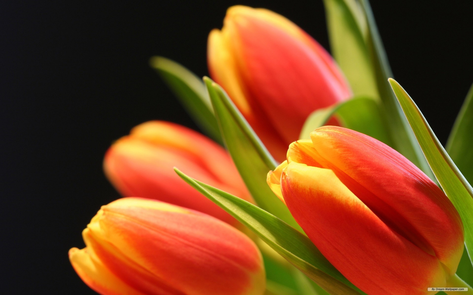 Tulip Flowers Wallpapers ·① WallpaperTag