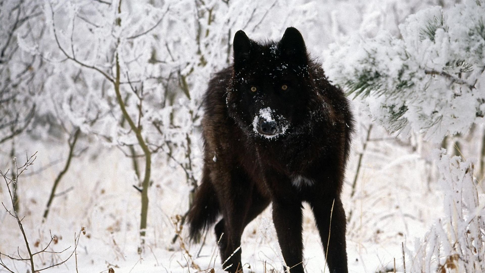 1920x1080 Black Wolf Wallpapers Hd Cool Phone Backgrounds Amazing Best Download
