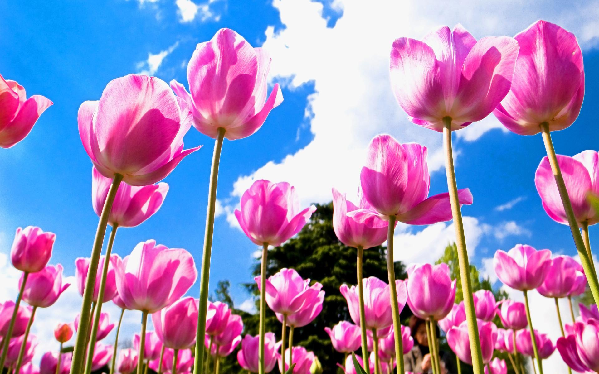 Tulips Wallpaper 1