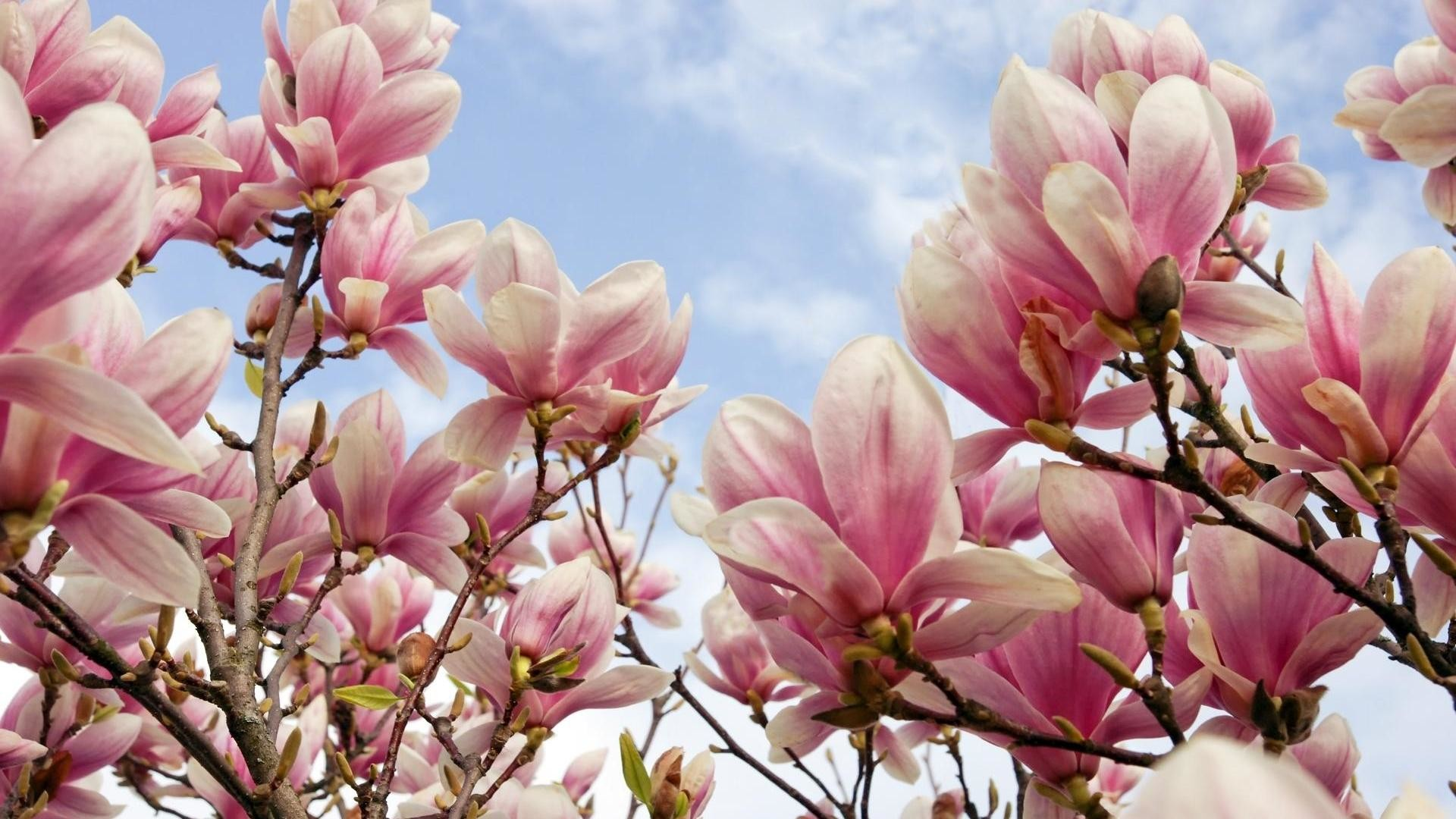 Magnolia wallpaper wallpapertag - Magnolia background ...