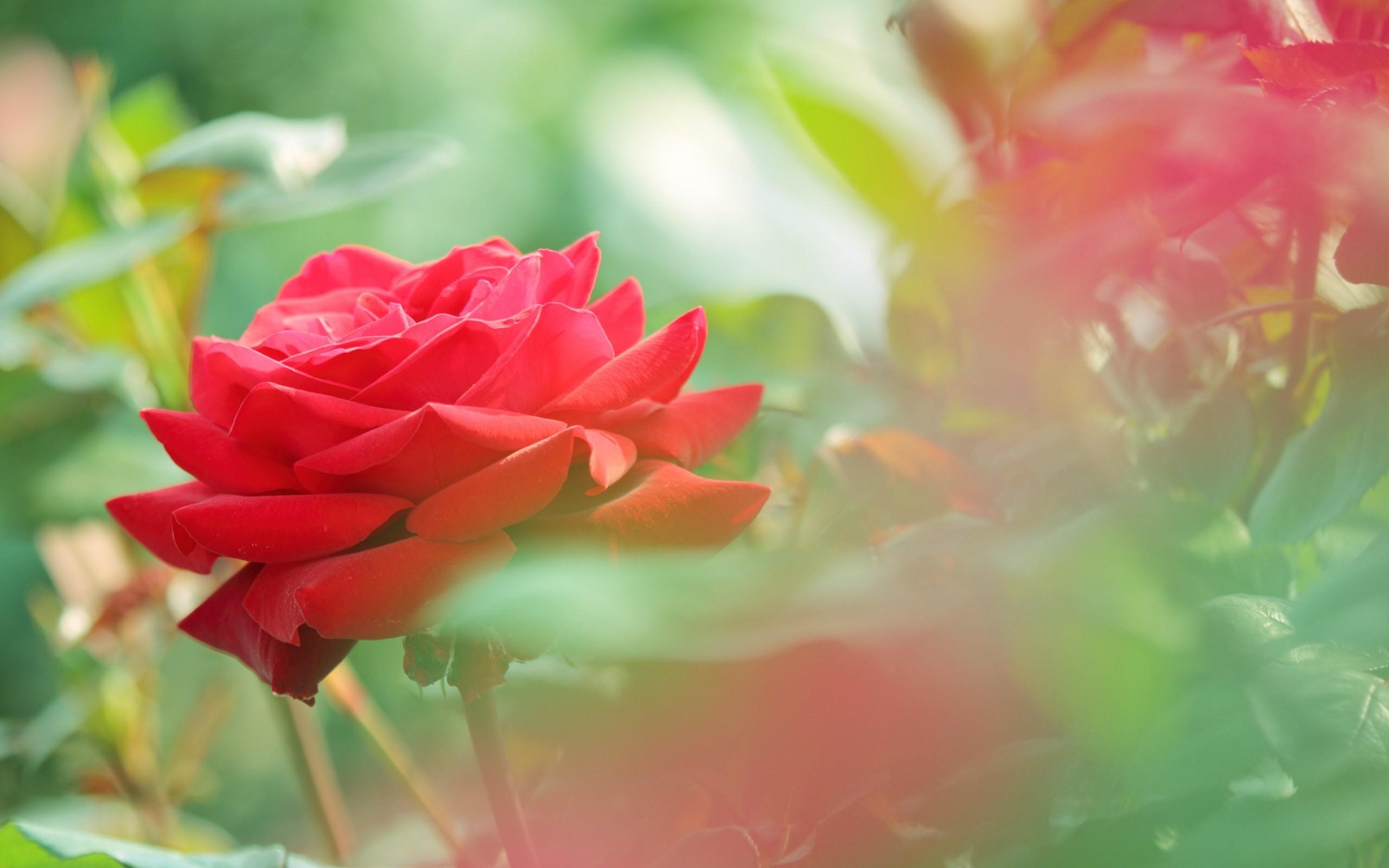 Beautiful roses wallpapers 2560x1600 beautiful red rose flower photo hd wallpaper download beautiful izmirmasajfo