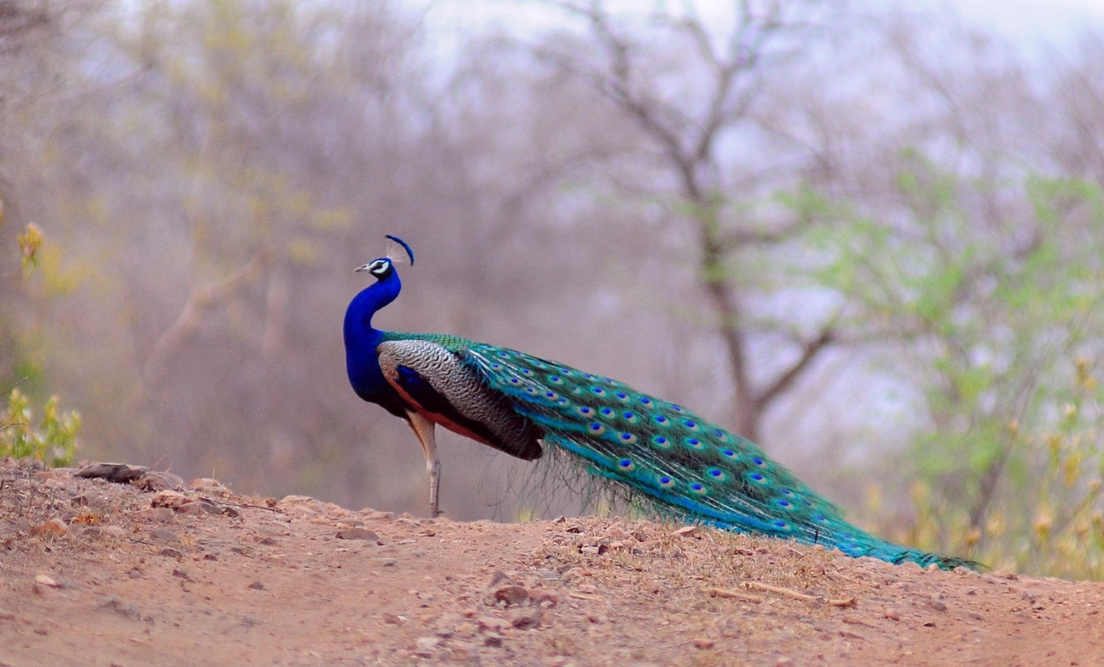 Wallpapers Of Peacock Feathers HD 2018 ·① WallpaperTag
