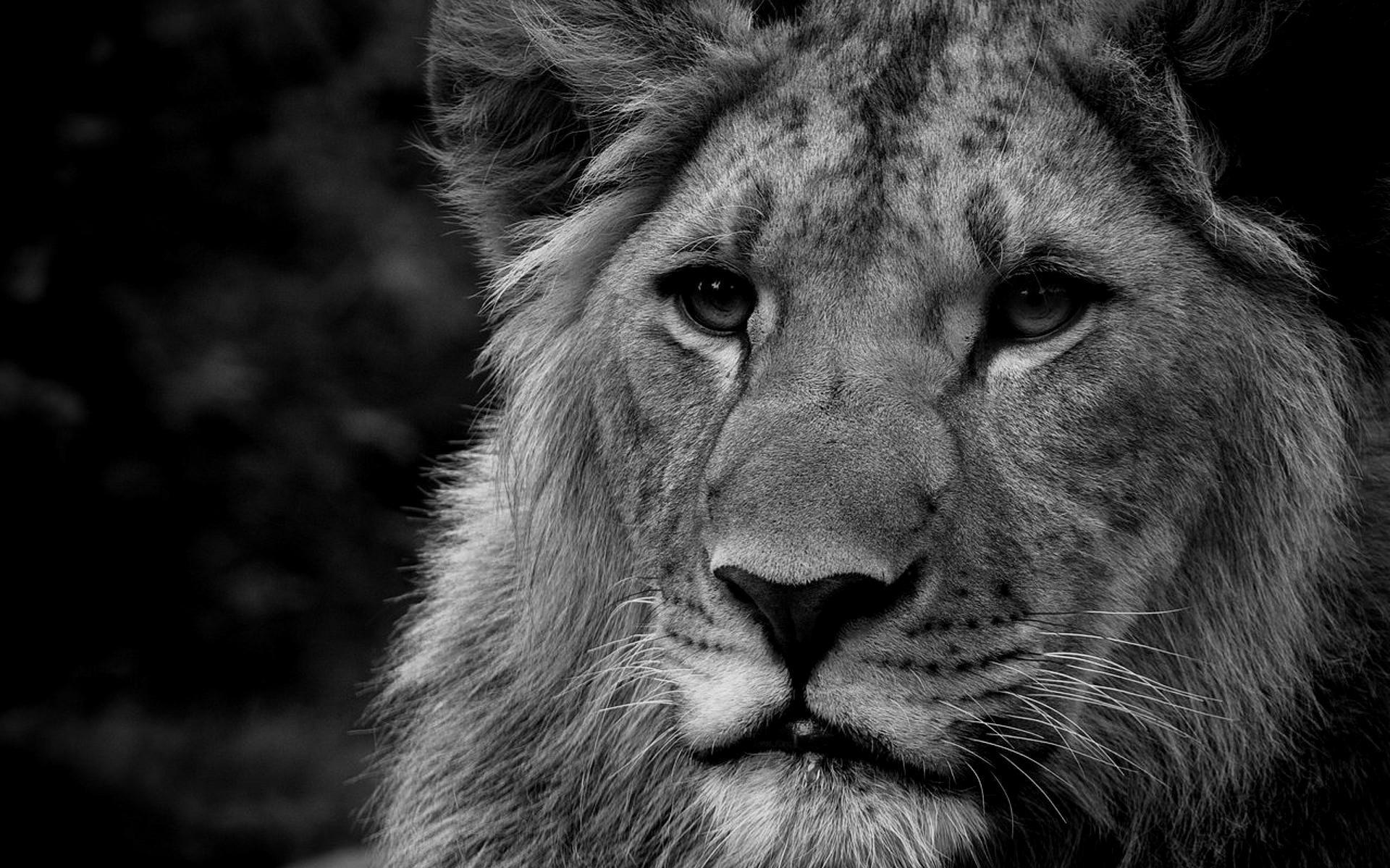 Male Lion Faces Wallpaper ·① WallpaperTag