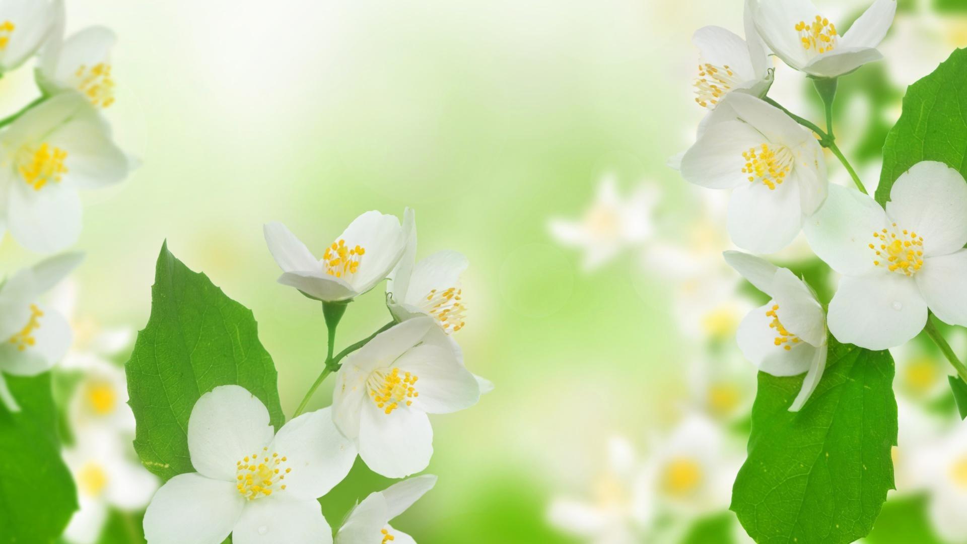 Jasmine flower wallpaper - Flower wallpaper movie ...